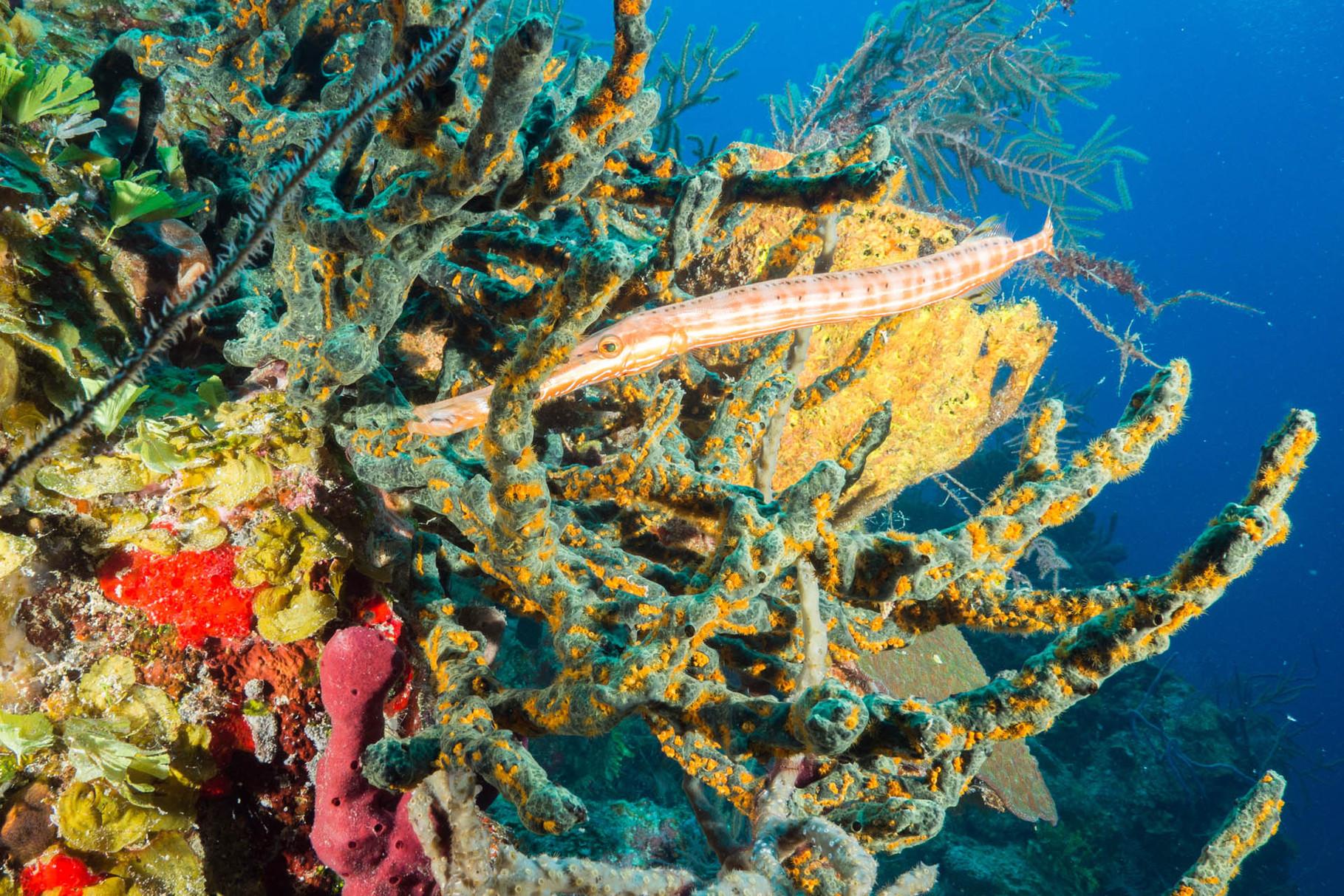 Trumpetfish [Bahams, 2014]
