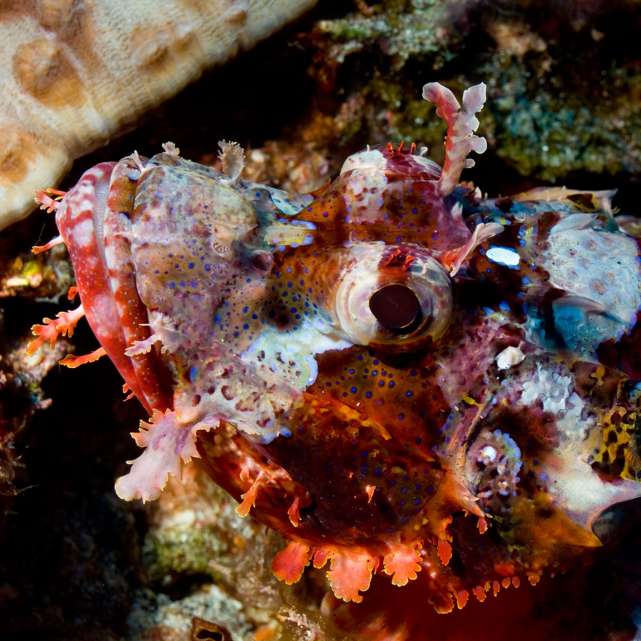 Scorpionfish, Komodo [Indonesia, 2011]