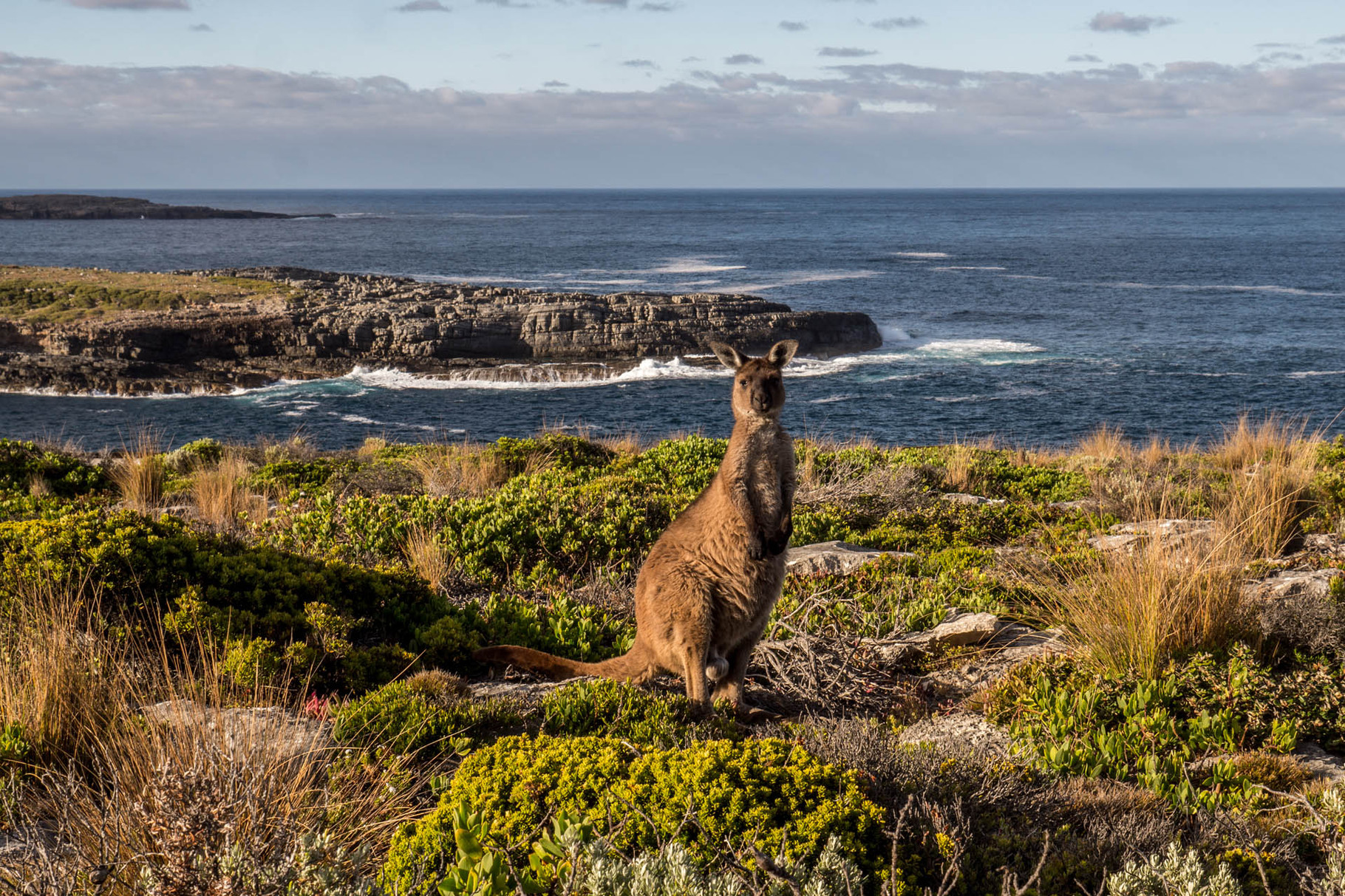 Kangaroo near Admiral Arch (Casuarina Islet in the background), Flinders Chase National Park, Kangaroo Island