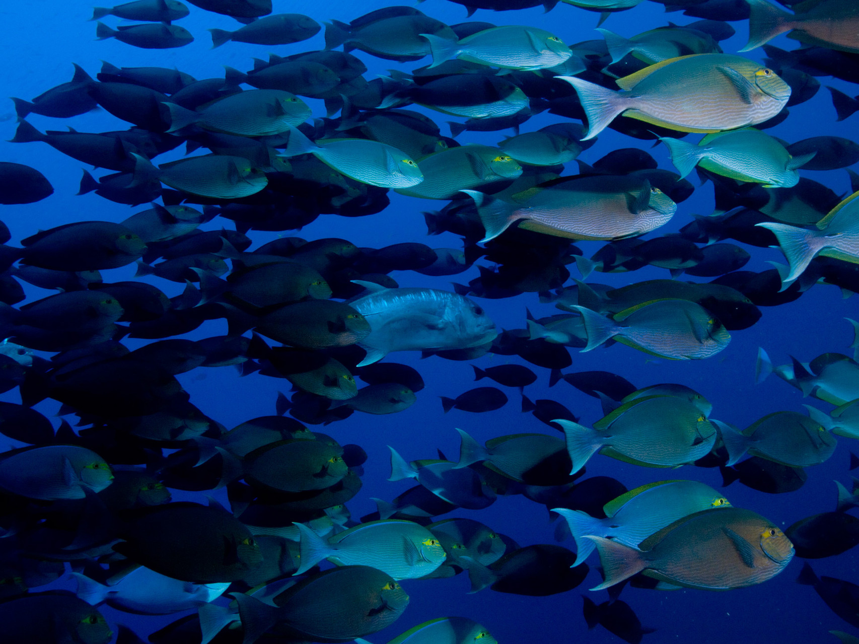 School of surgeon fishes