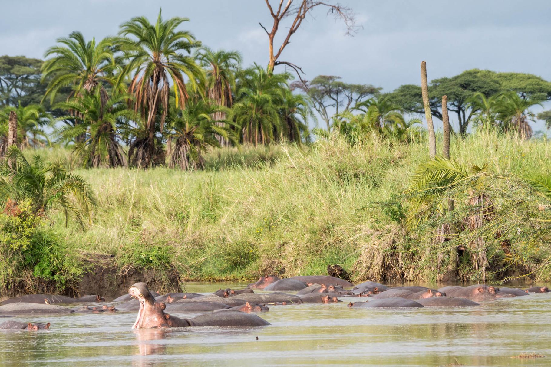 Hippos [Serengeti, Tanzania, 2015]