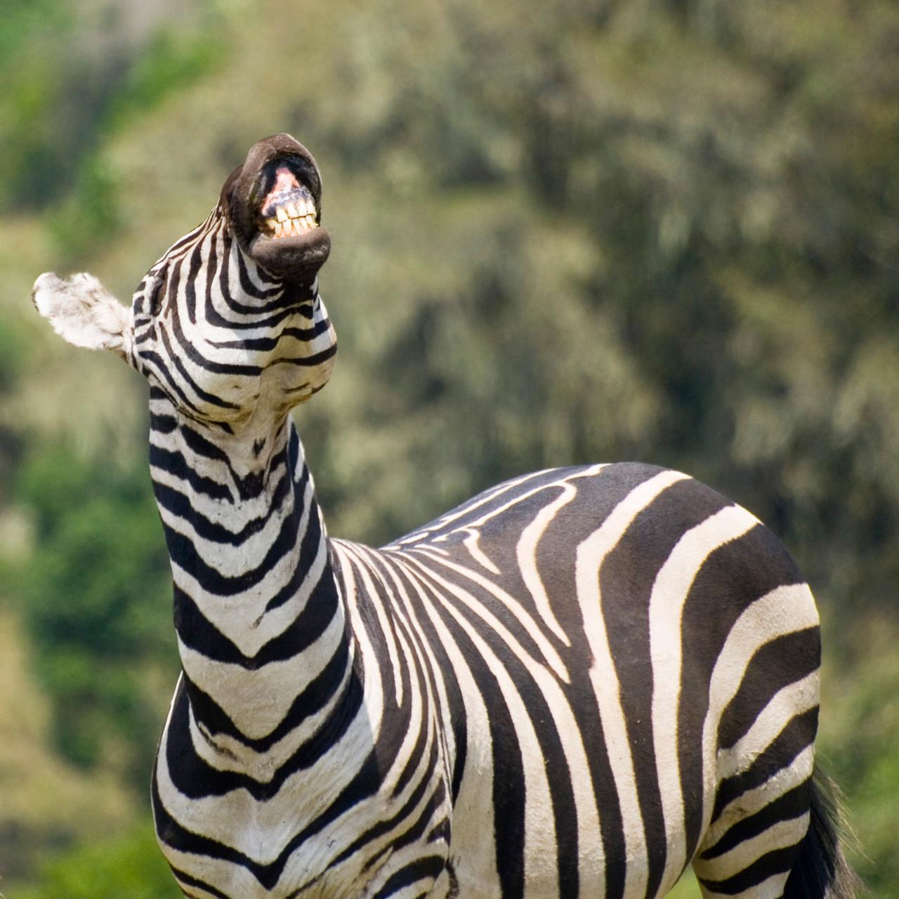 Zebra [Ngorongoro, Tanzania, 2012]