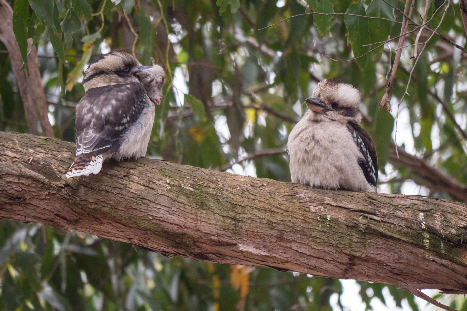 "Two ""Laughing Kookaburras (Dacelo novaeguineae) with a captured mouse"