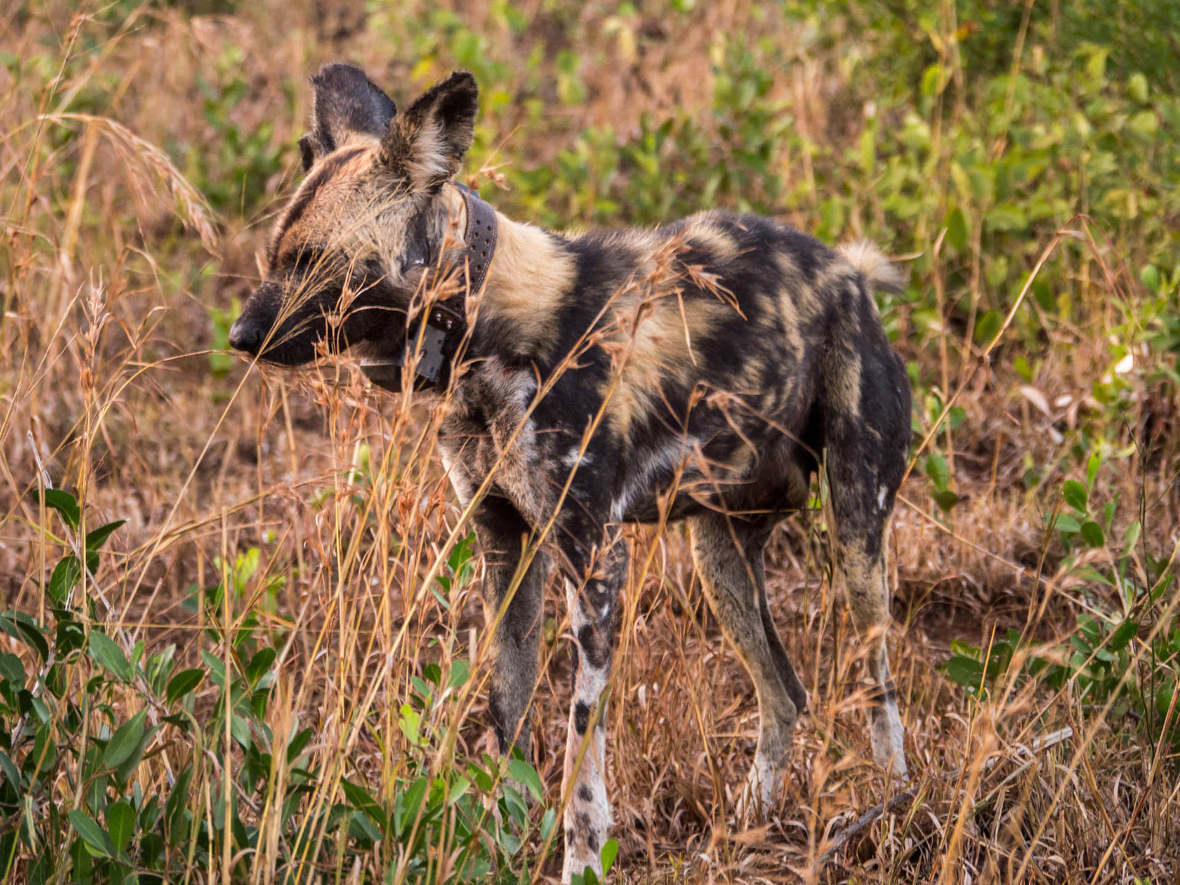 Wild dog with tracker