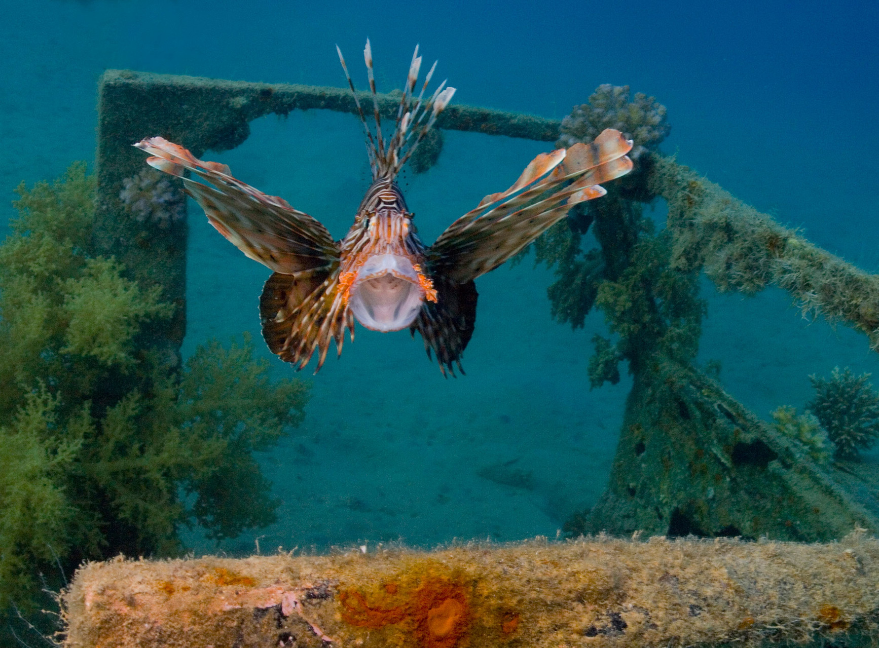 Scorpionfish, Nuweiba [Egypt, 2010]