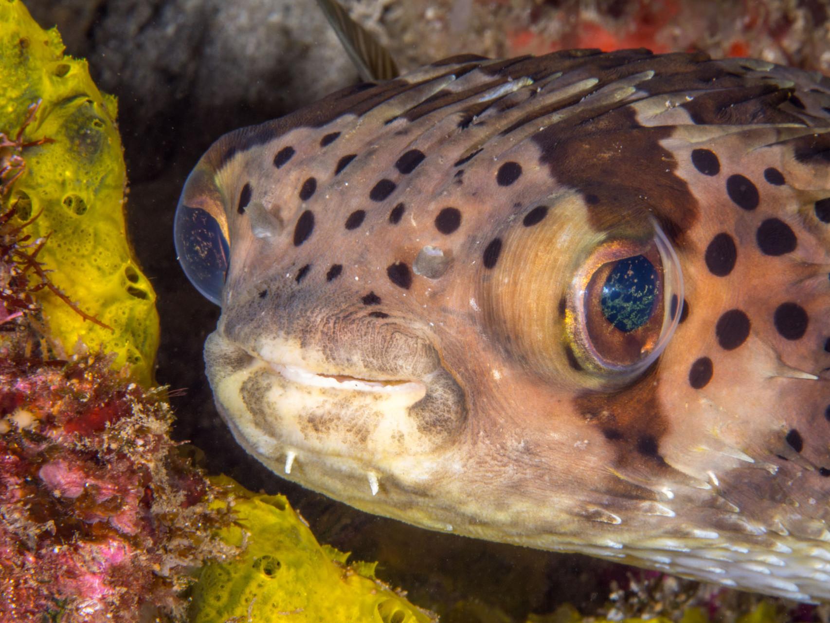 Balloonfish (Diodon holocanthus), Green Island