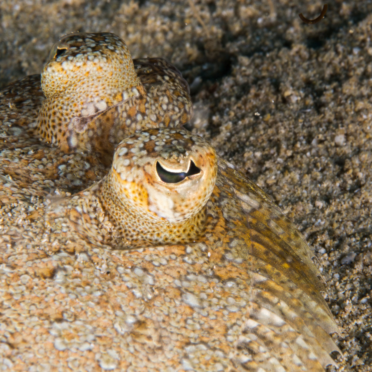 Eyes of a flounder
