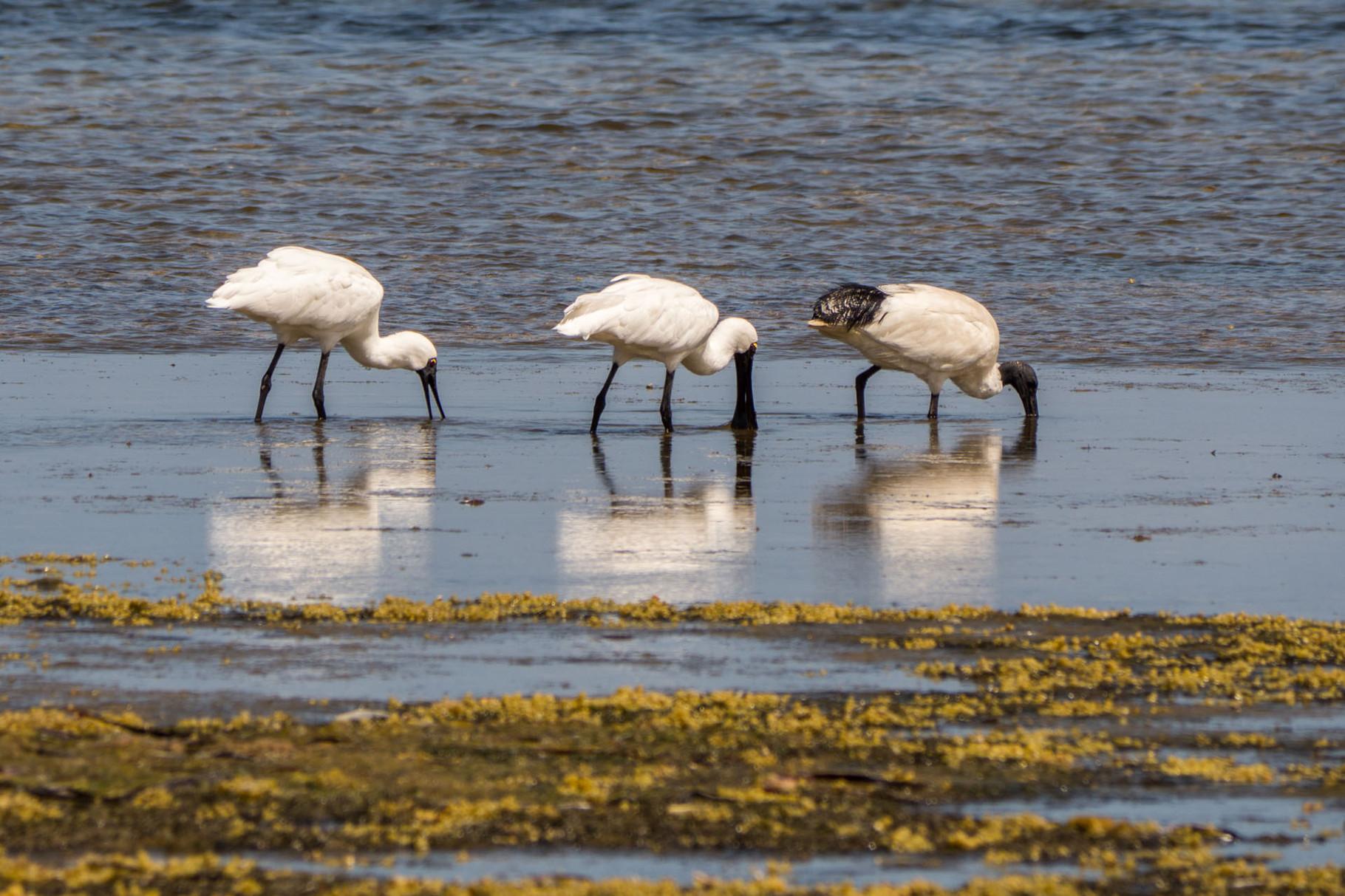 Spoonbills, American River, Kangaroo Island