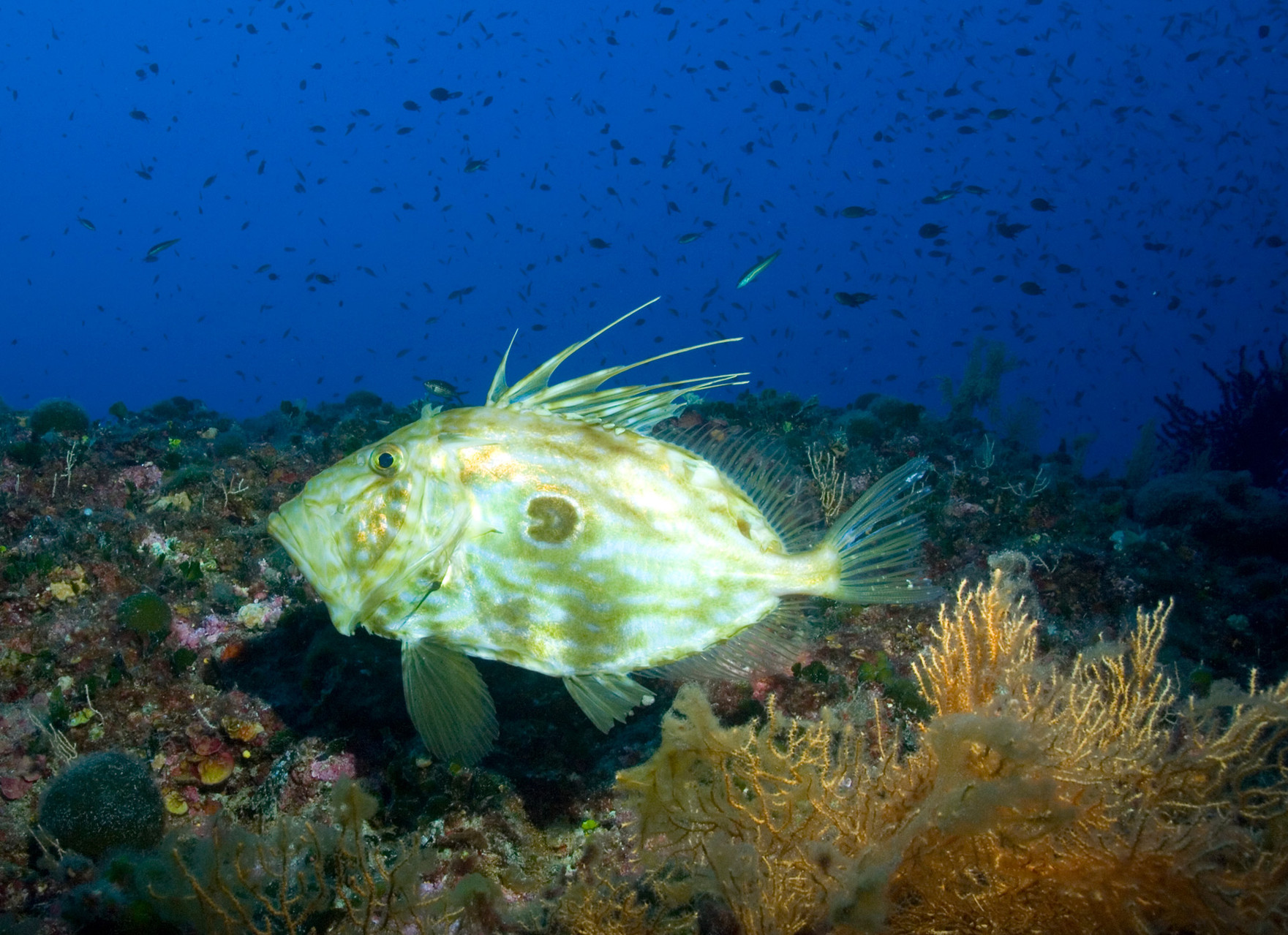 John Dory, St Pierre or Peter's Fish (Zeus faber)