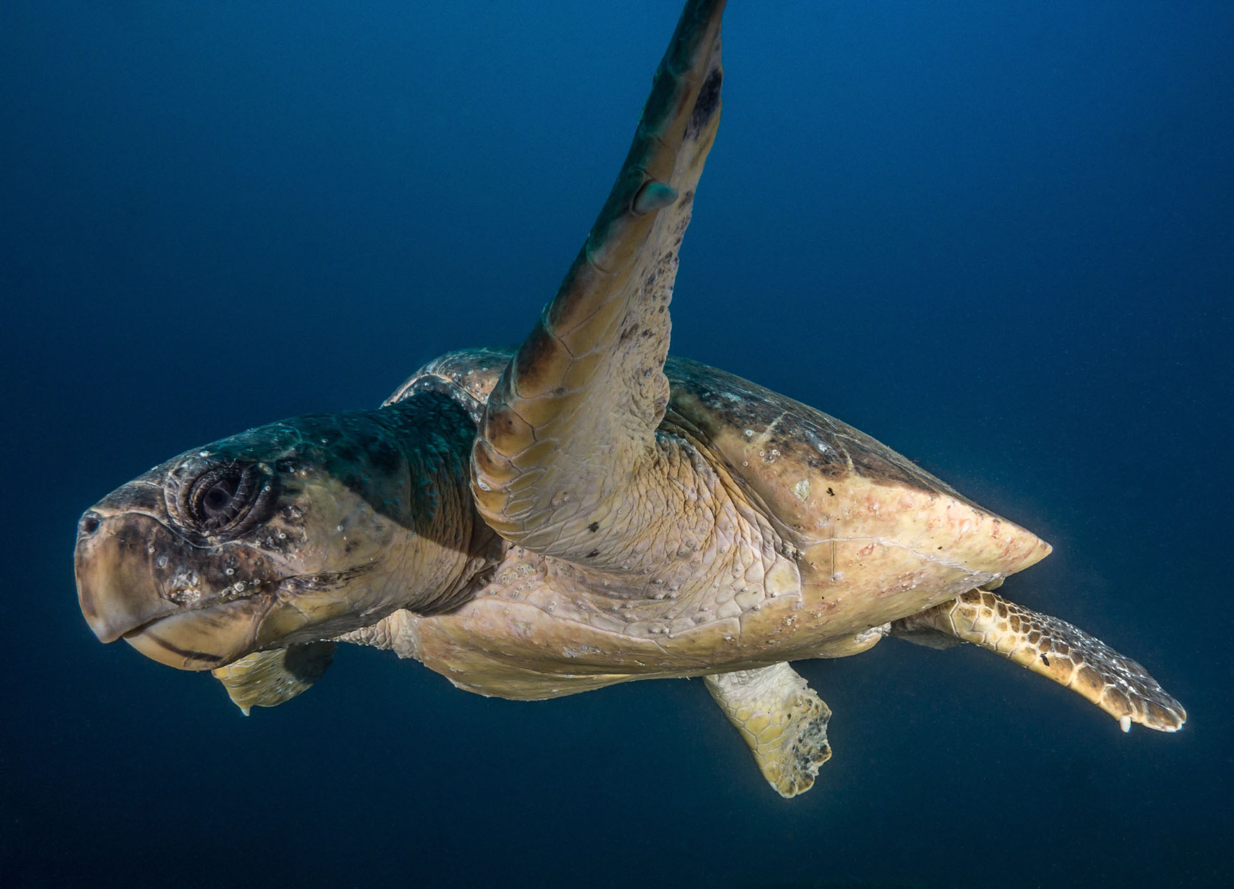 Turtle, Aliwal shoal [South Africa, 2015]