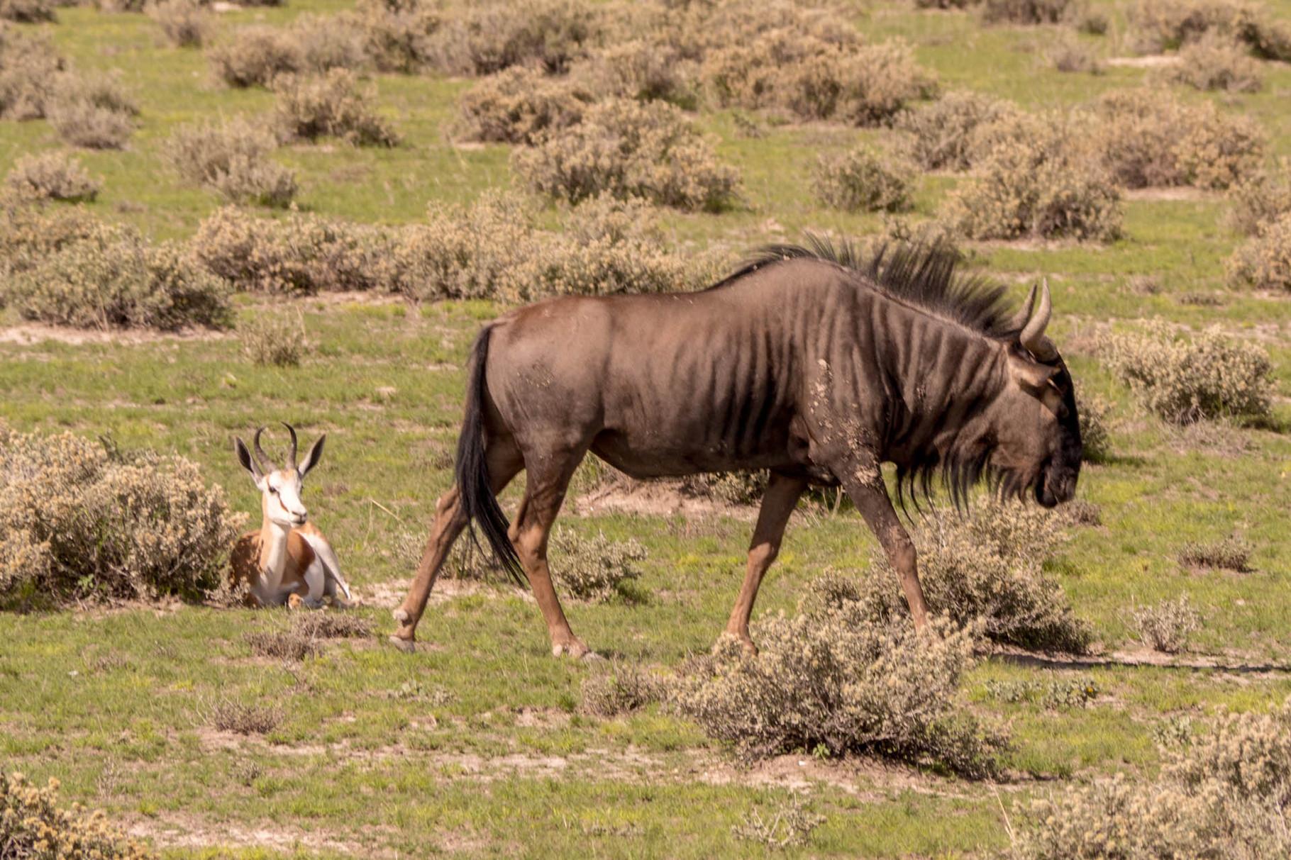 Wildebeest [Etosha Park, Namibia, 2015]