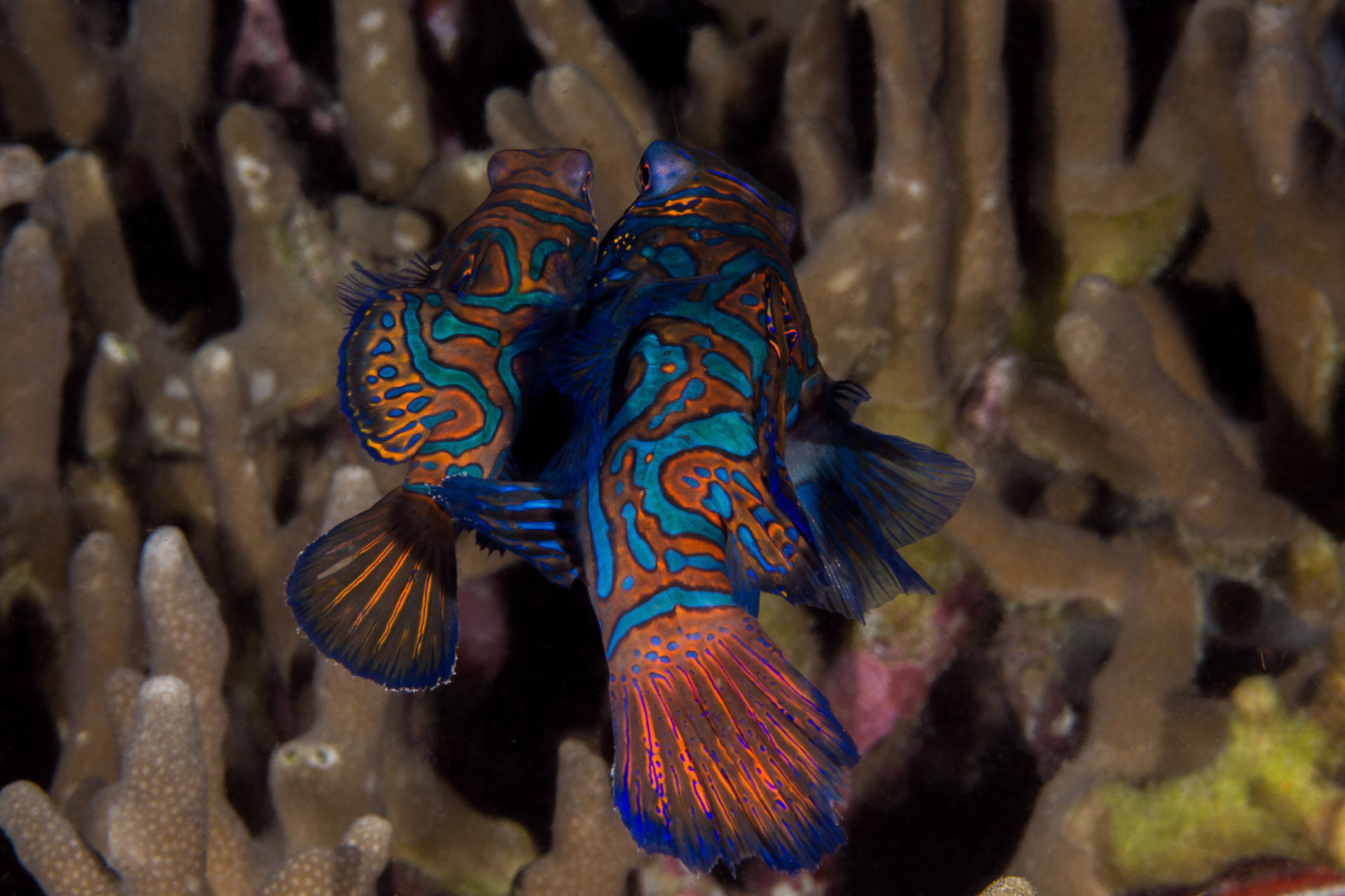Mating Mandarin fishes, Malapascua [Philippines, 2015]