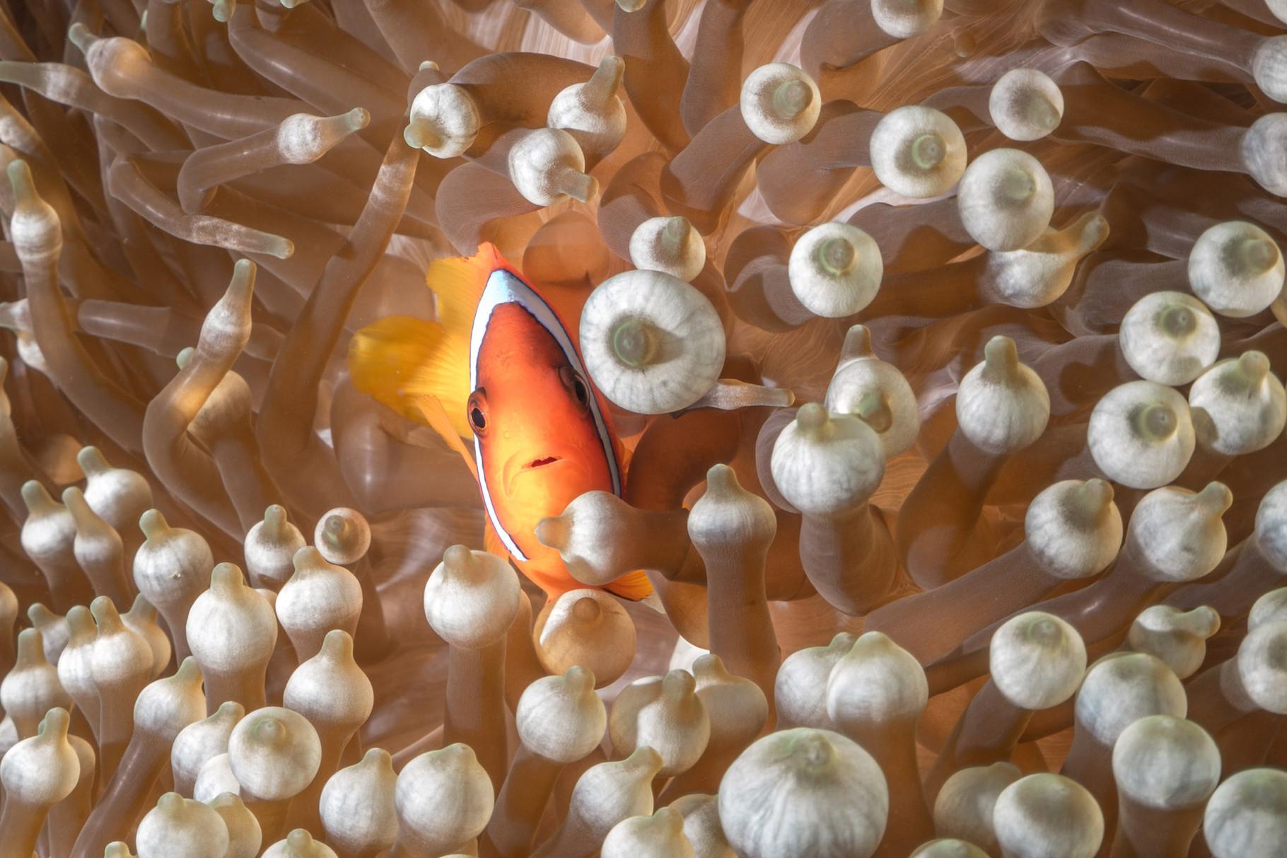 Male Tomato anemonefish (Amphiprion frenatus), Green Island
