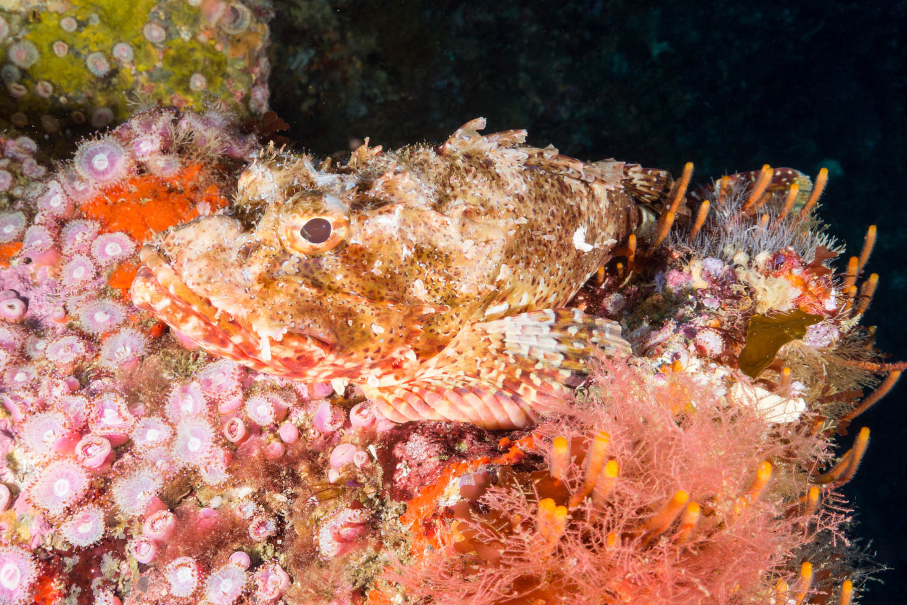 Scorpionfish, Poor Knights Islands