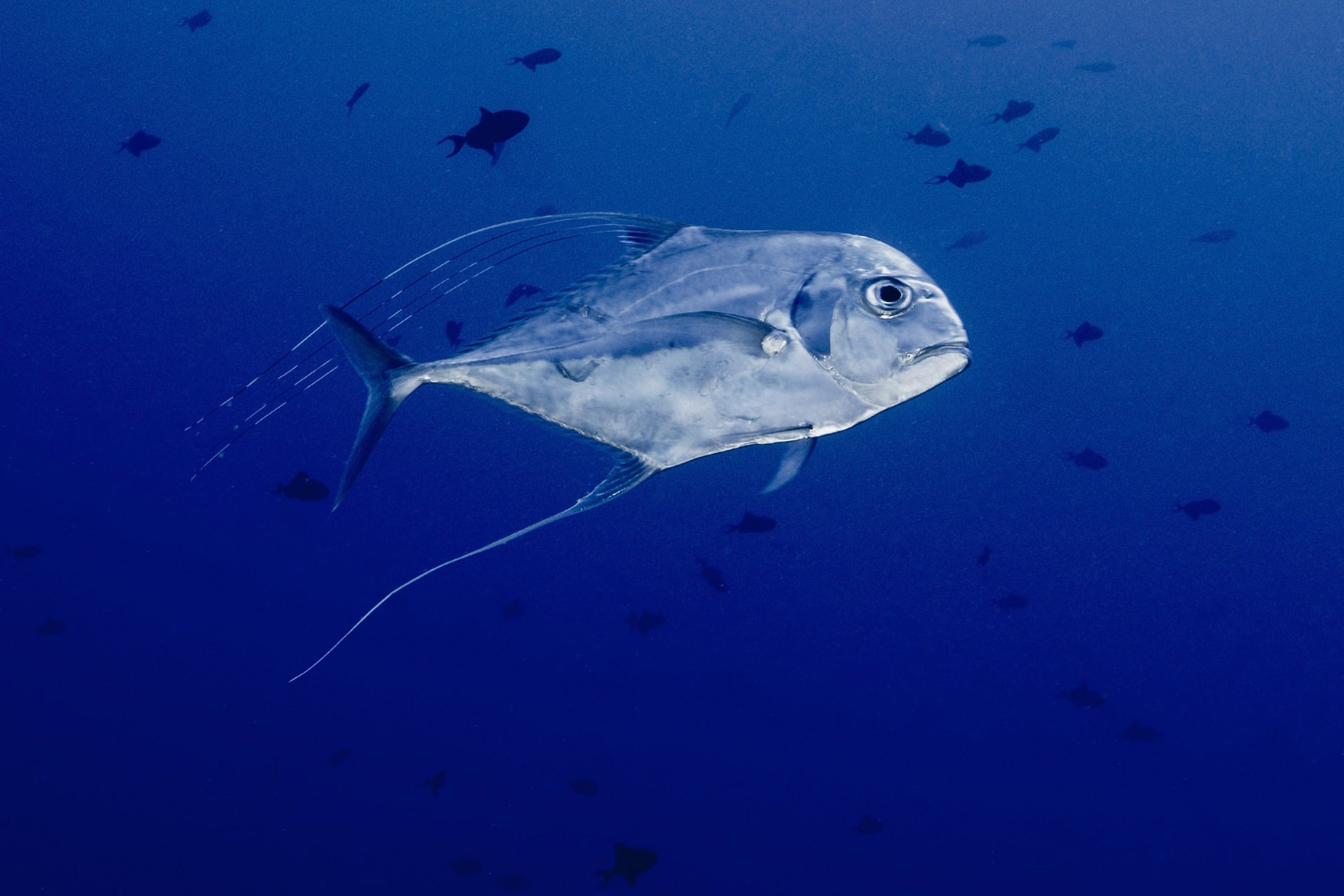 African pompano (Alectis ciliaris, also known as the pennant-fish and threadfin trevally), Avatoru Pass, Rangiroa