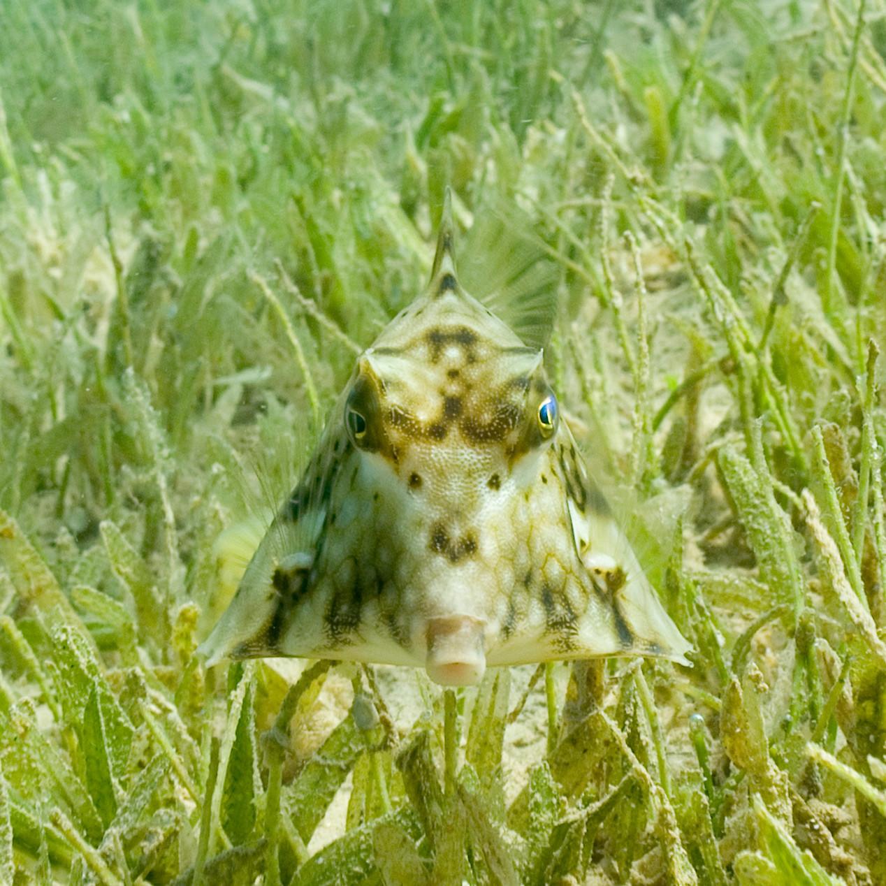 Humpback turretfish (Boxfish)