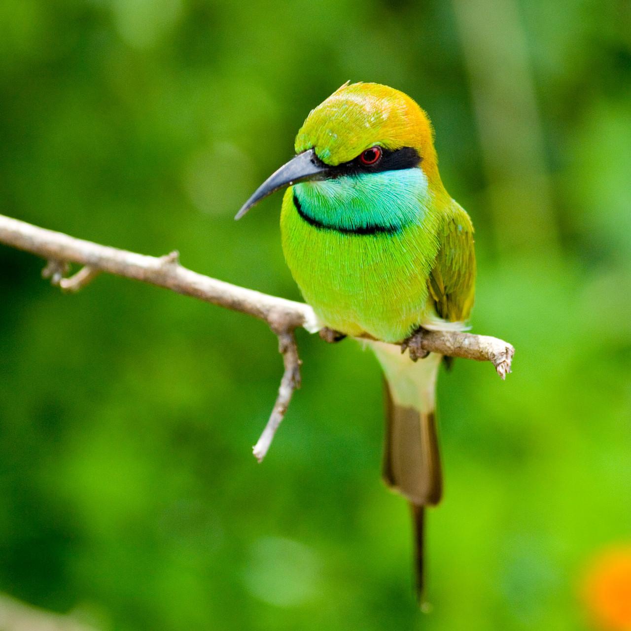 Green bee-eater (Merops orientalis), Yala National Park [Sri Lanka 2013]