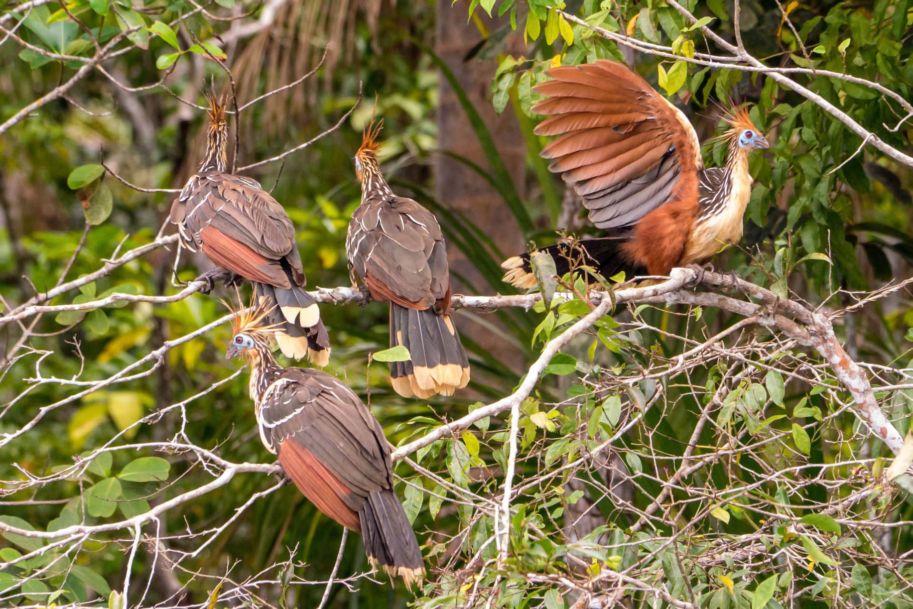 Hoatzins, Madidi Nationalpark