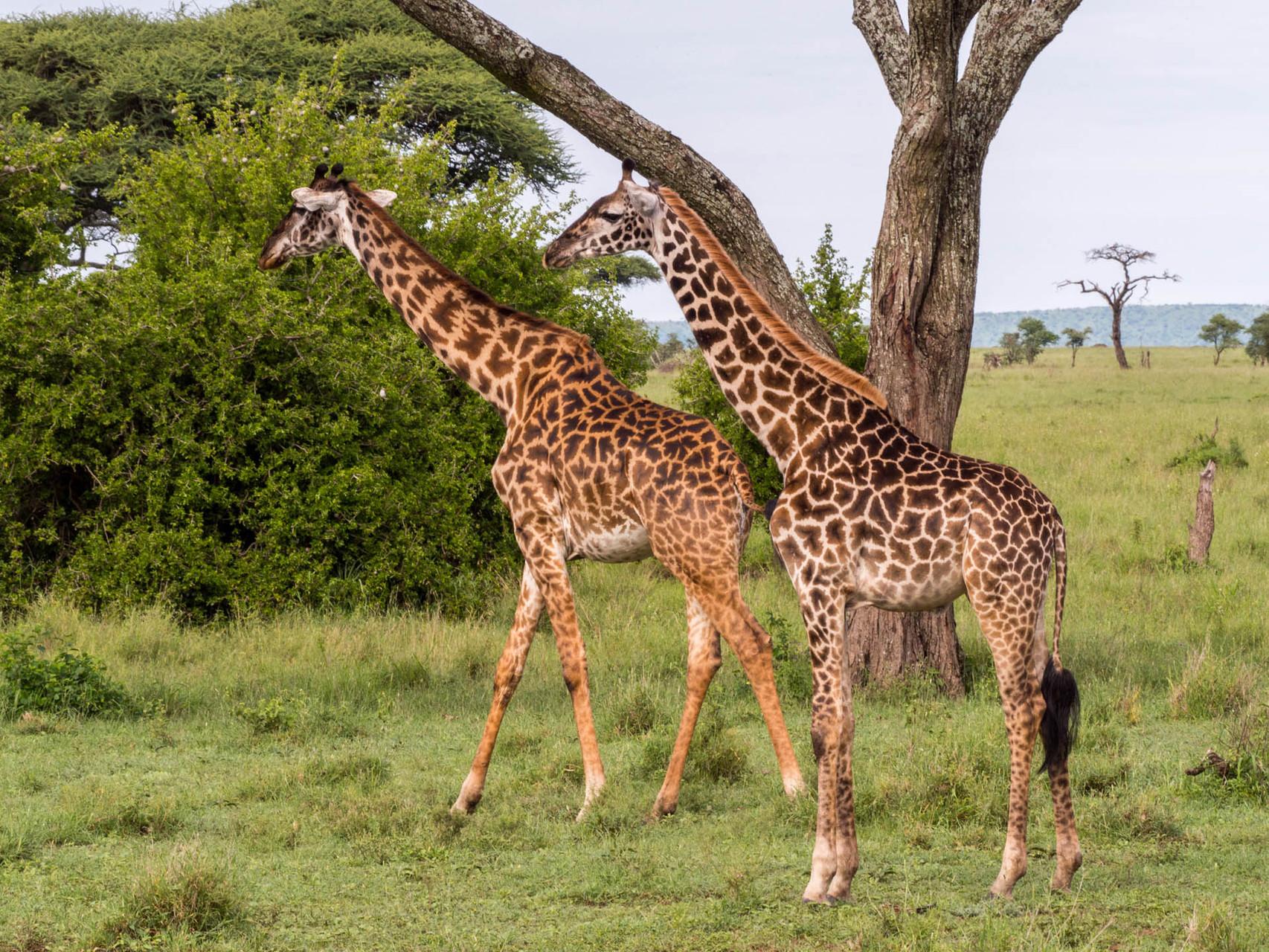 Giraffes [Serengeti, Tanzania, 2015]