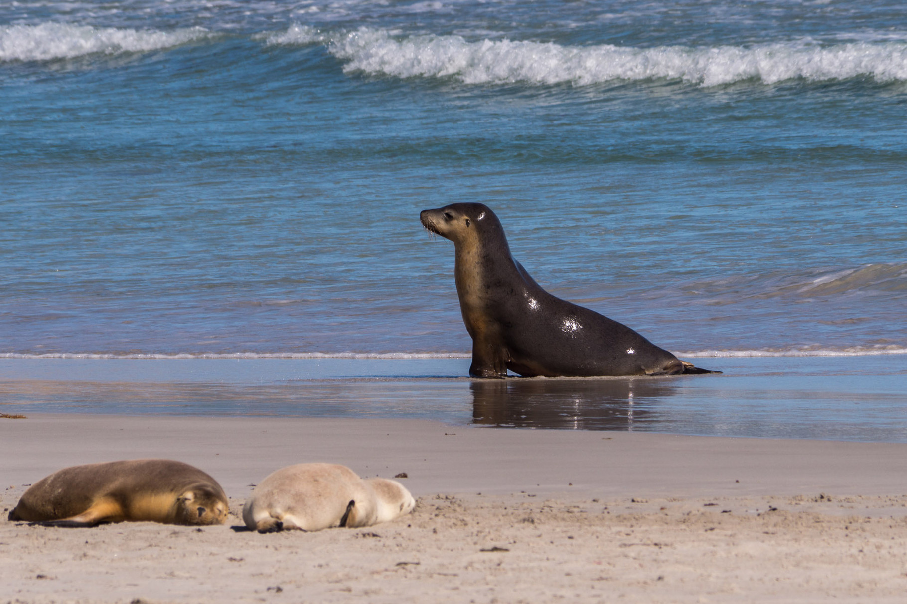 Seals at Seal Bay, Kangaroo Island