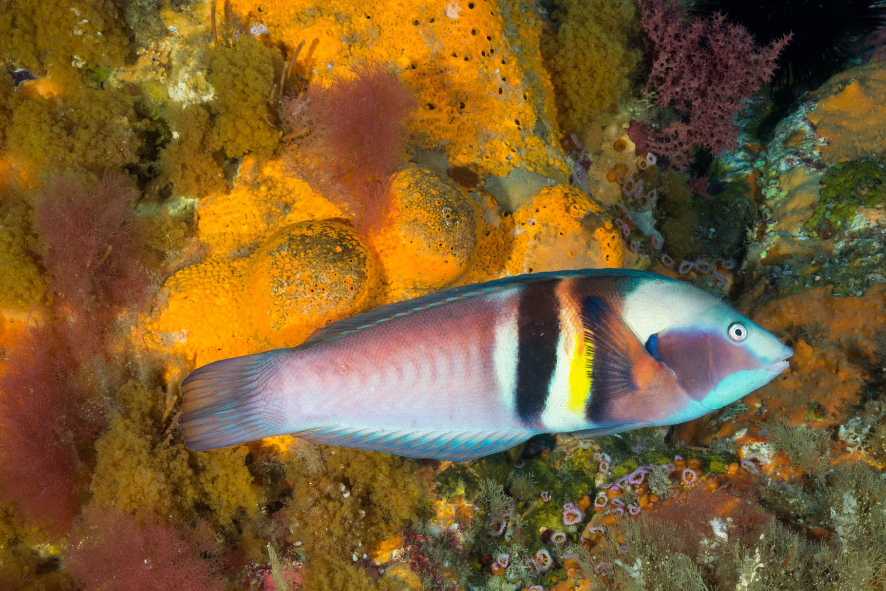 Wrasse, Poor Knights Islands