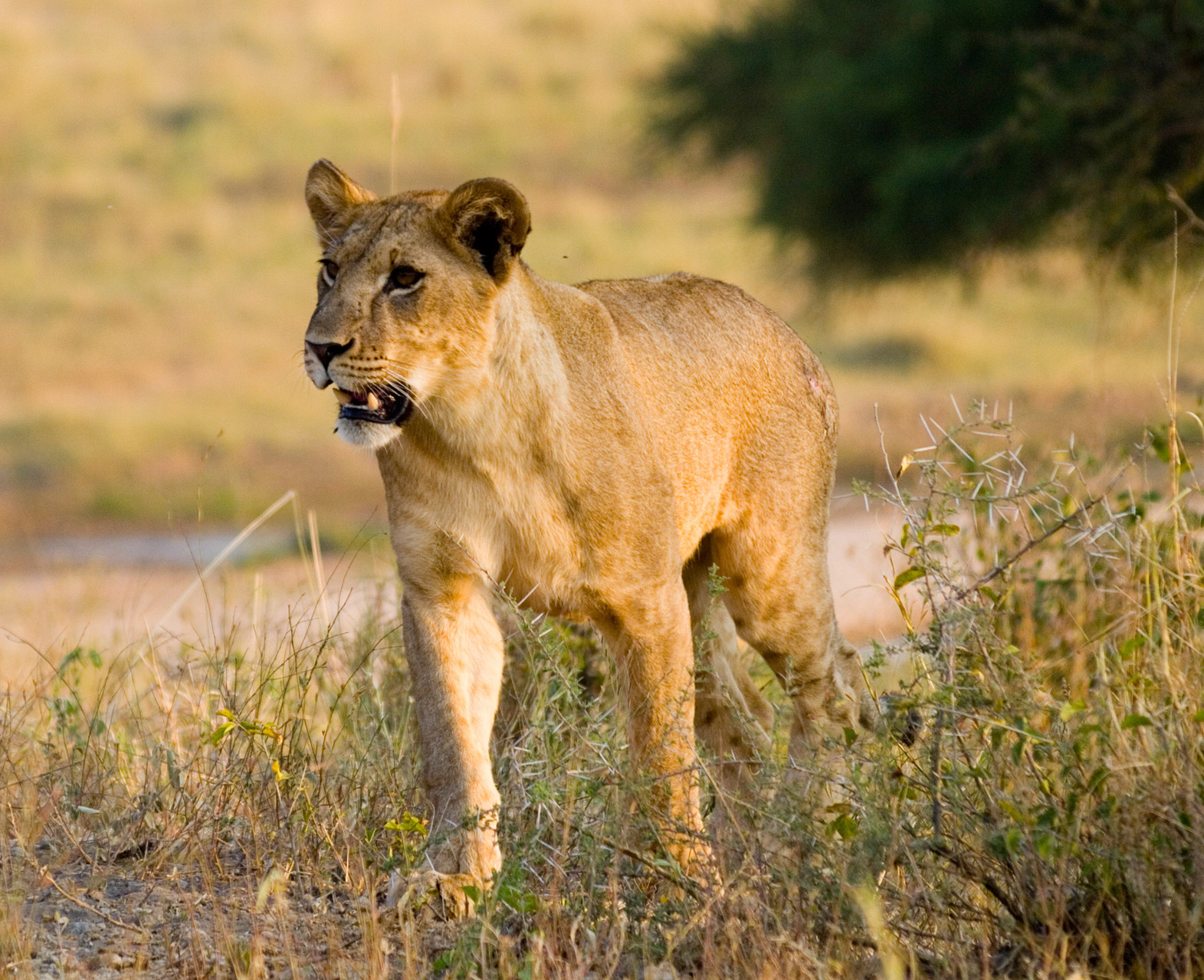 Lion [Serengeti, Tanzania, 2012]