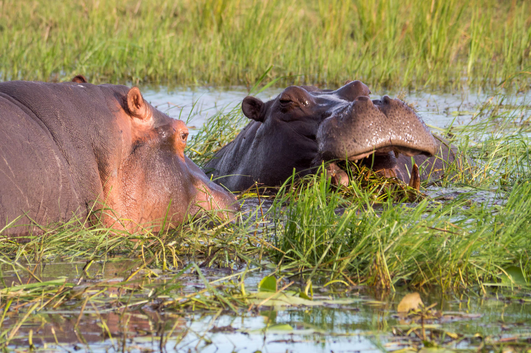 Hippos [Chobe Park, Botswana, 2015]