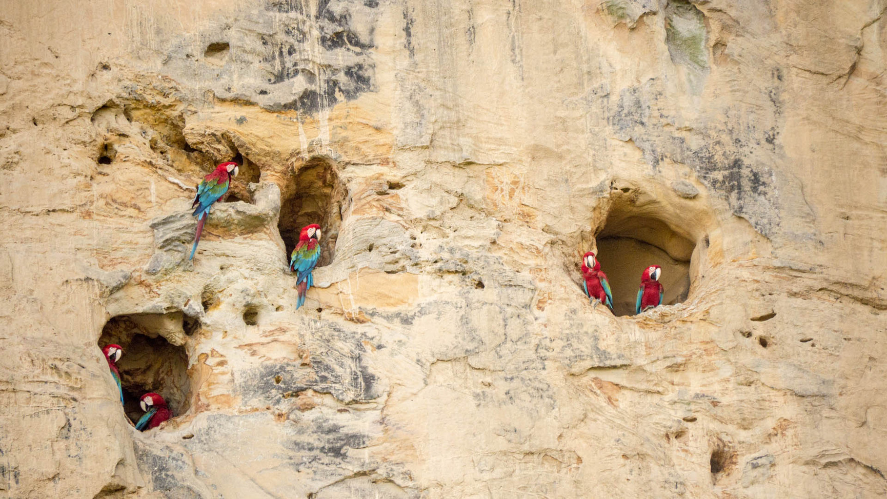 Nesting macaws at a cliff, protected from most predators, Madidi Nationalpark
