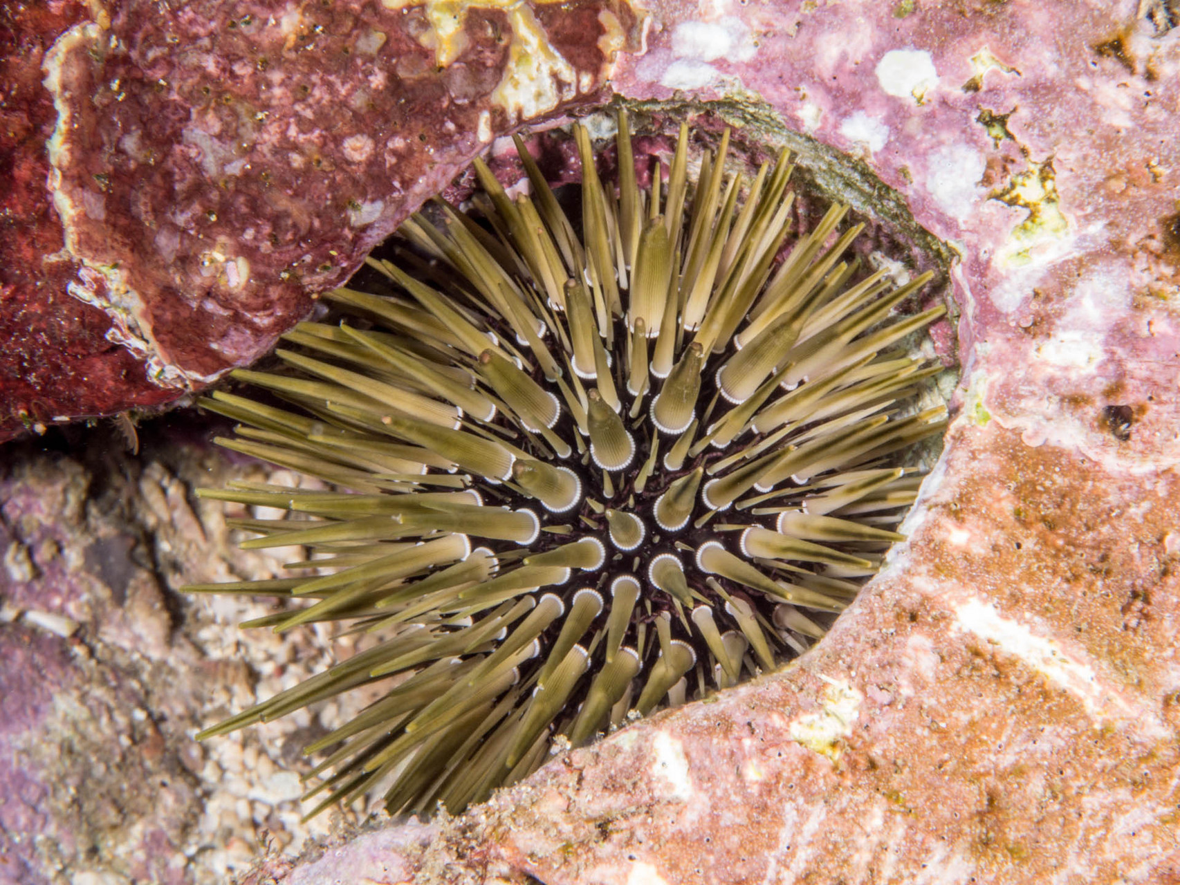 Sea urchin, Green Island