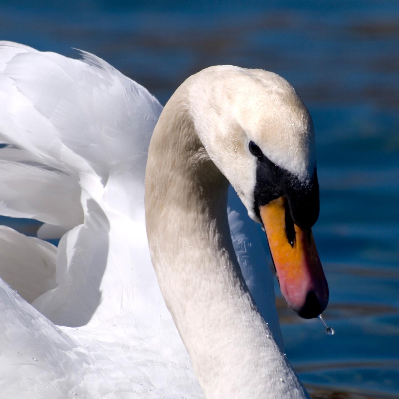 Swan [Switzerland, 2013]