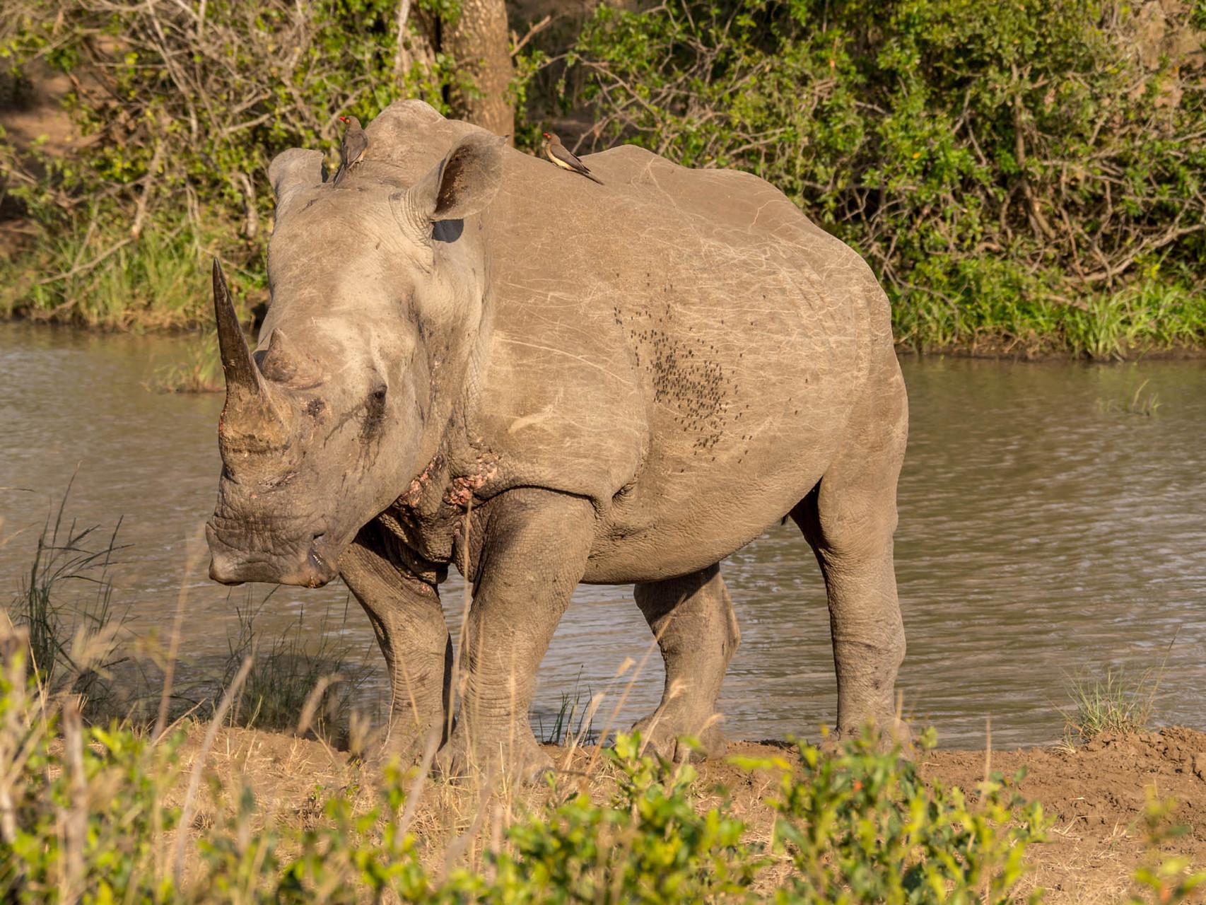Rhino [Hluhluwe-iMfolozi-Park, South Africa, 2015]