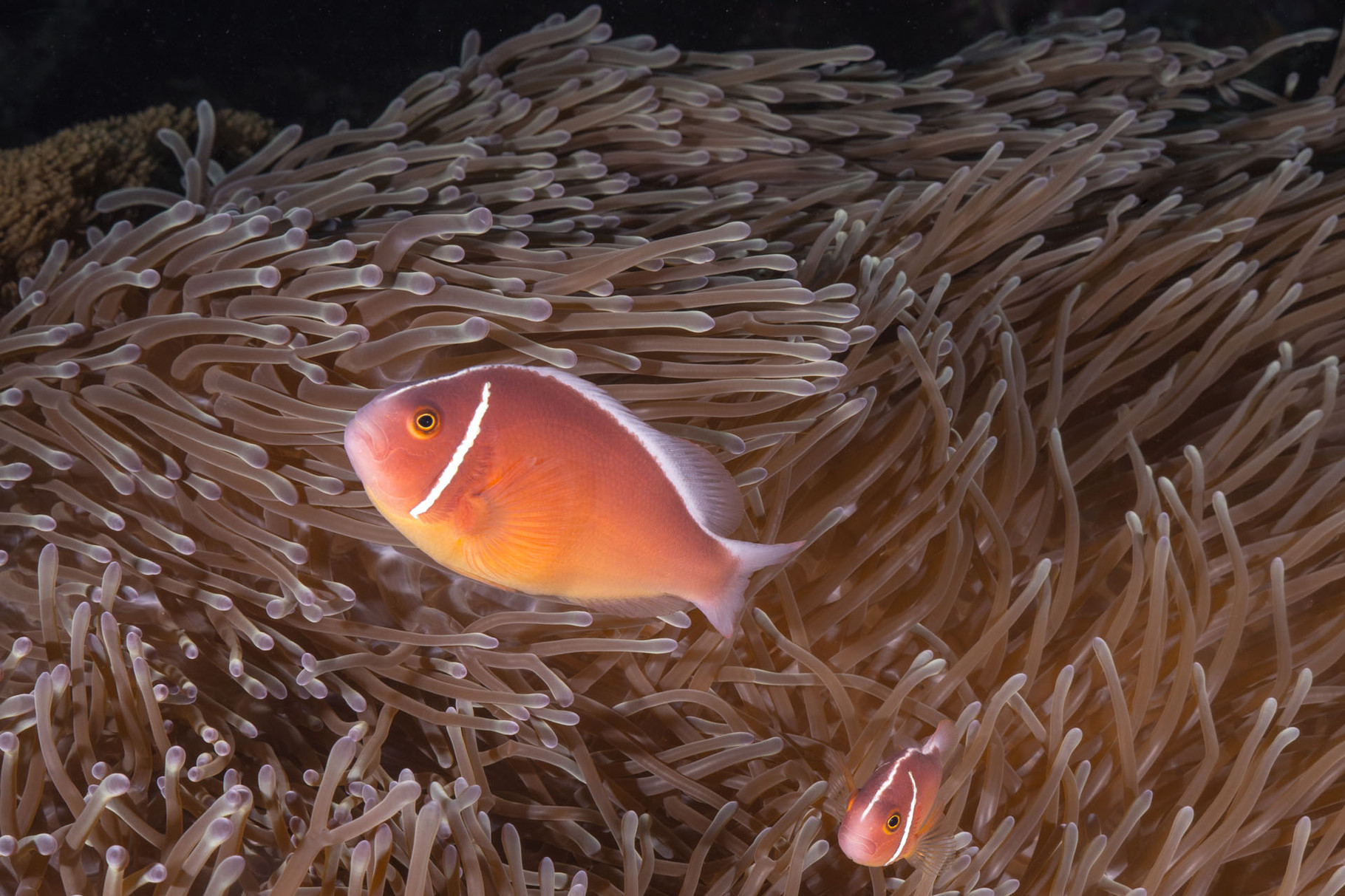 Pink anemonefishes (Amphiprion perideraion), Green Island