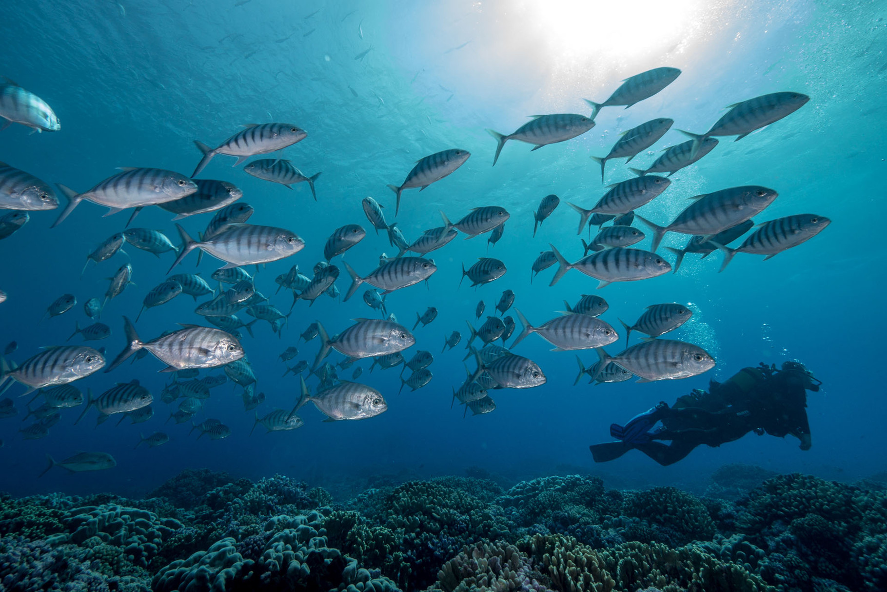 School of Jacks, North Pass, Fakarava