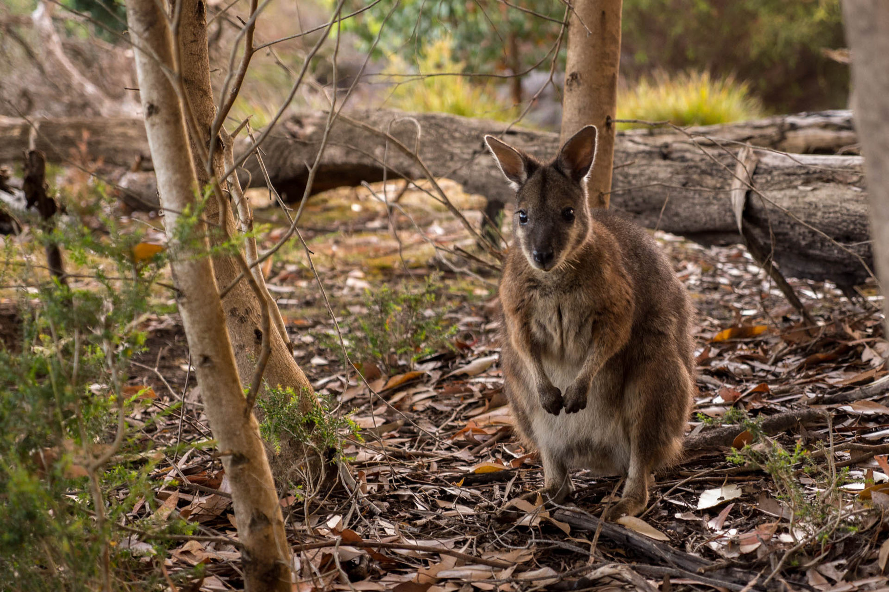 Wallaby, Flinders Chase National Park, Kangaroo Island
