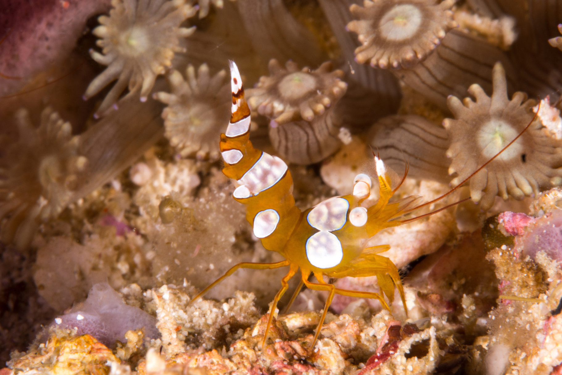 Sexy shrimp, also dancing shrimp, squat cleaner shrimp, hula shrimp (Thor amboinensis)