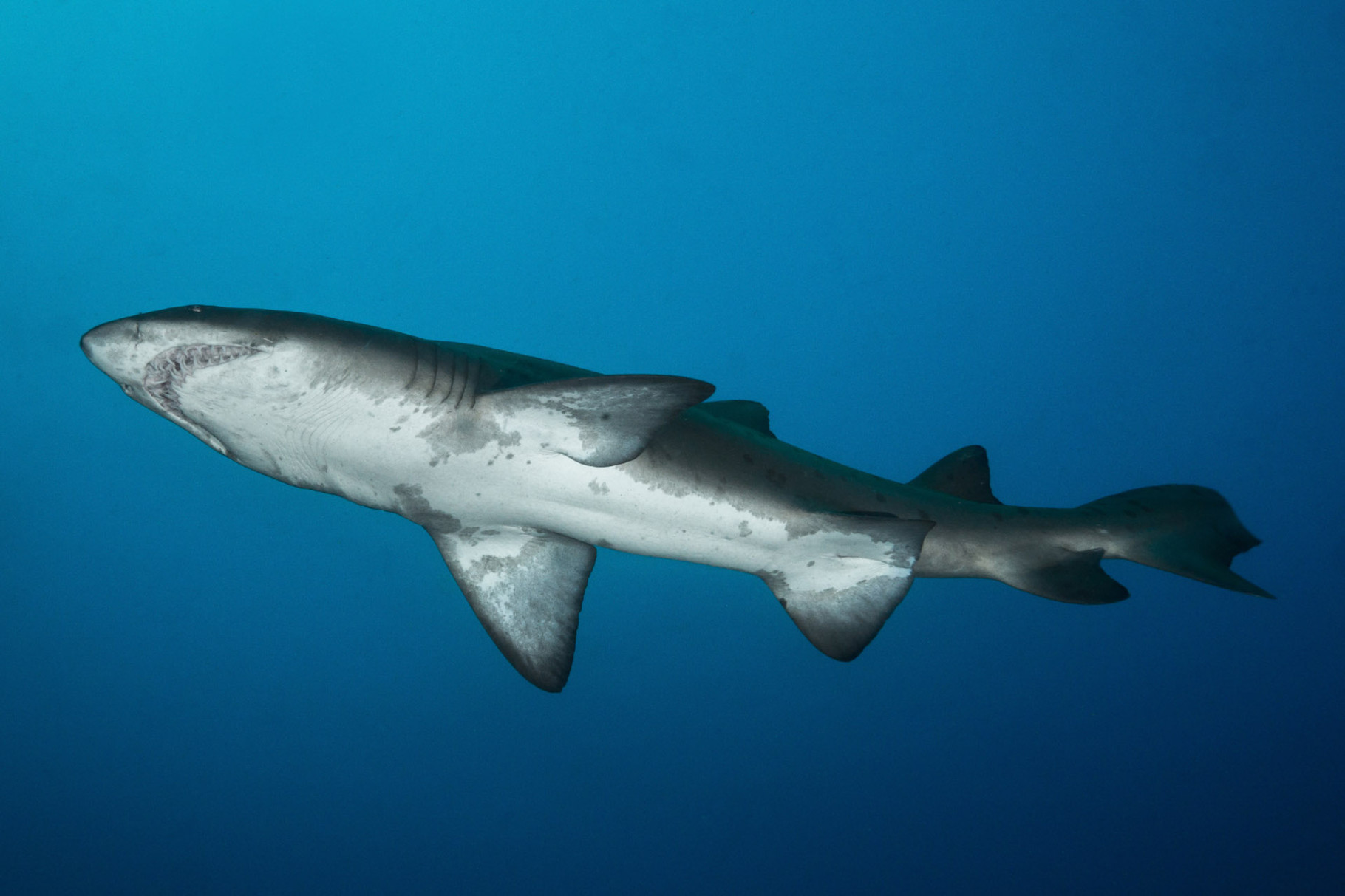 Raggie (Ragged tooth shark or Sandtiger shark)