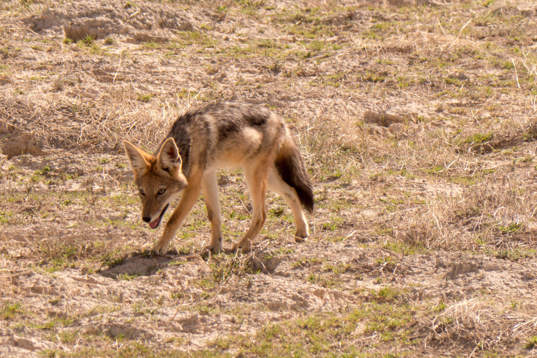 Black-backed jackal, Etosha National park