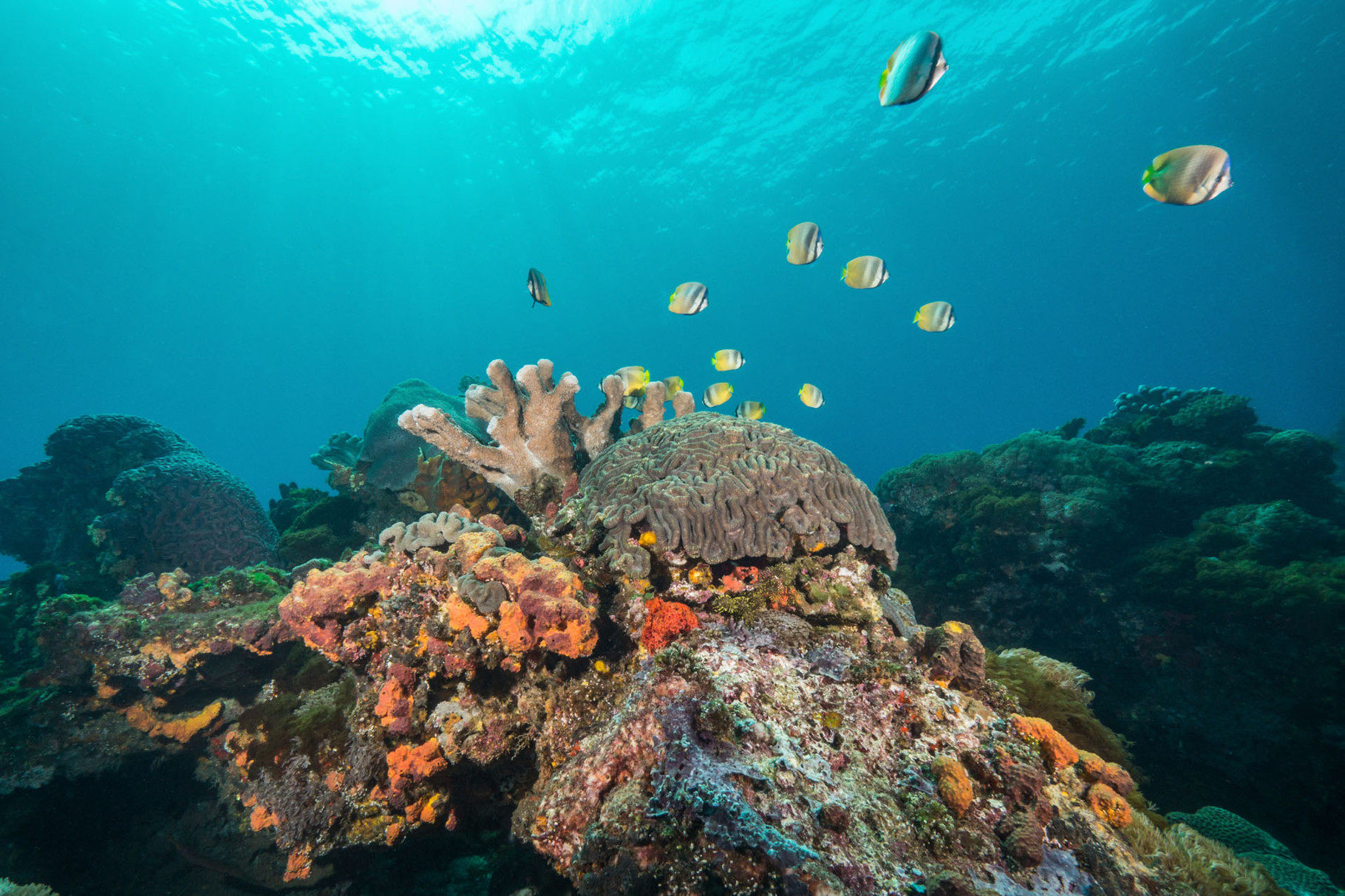 Seascape with a school of Blacklip butterflyfishes (Chaetodon kleinli), Green Island