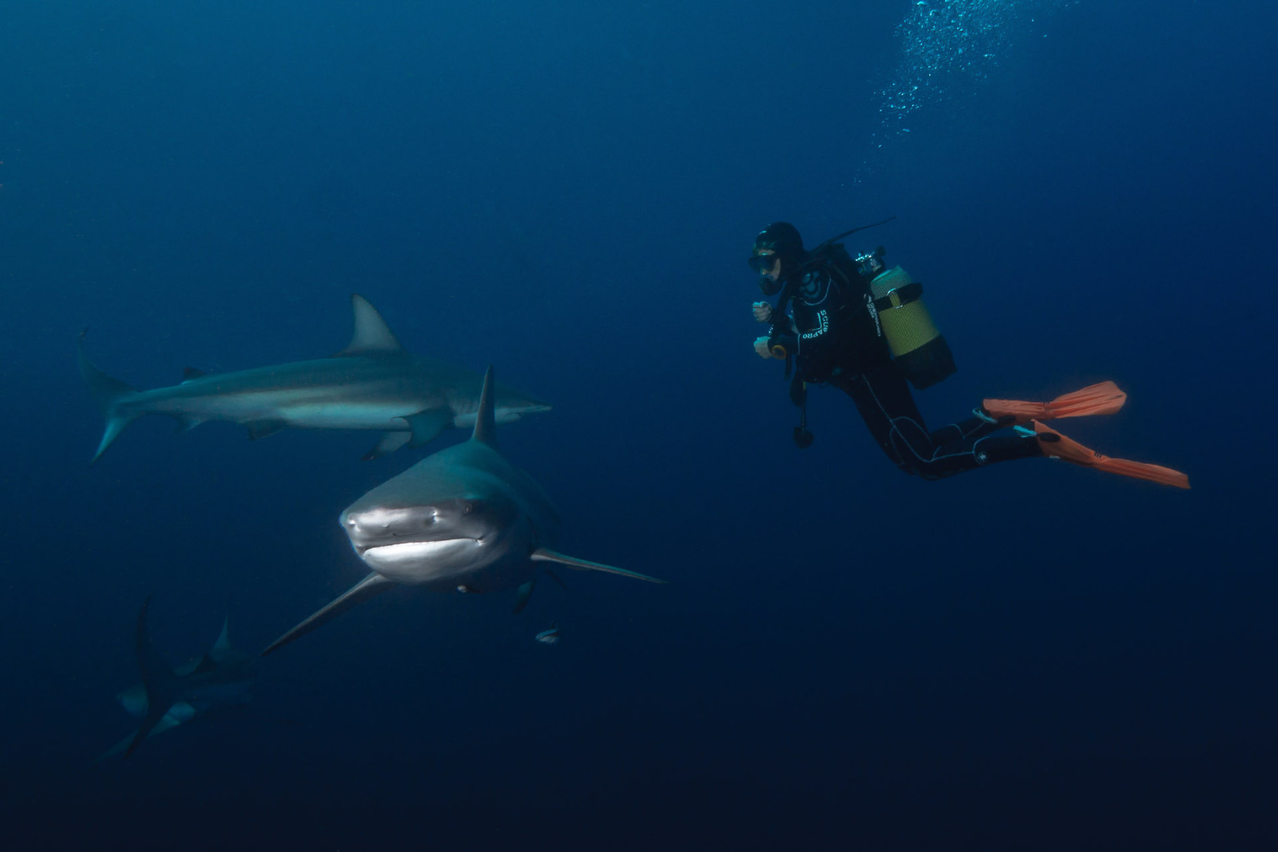 Oceanic blacktip sharks and diver