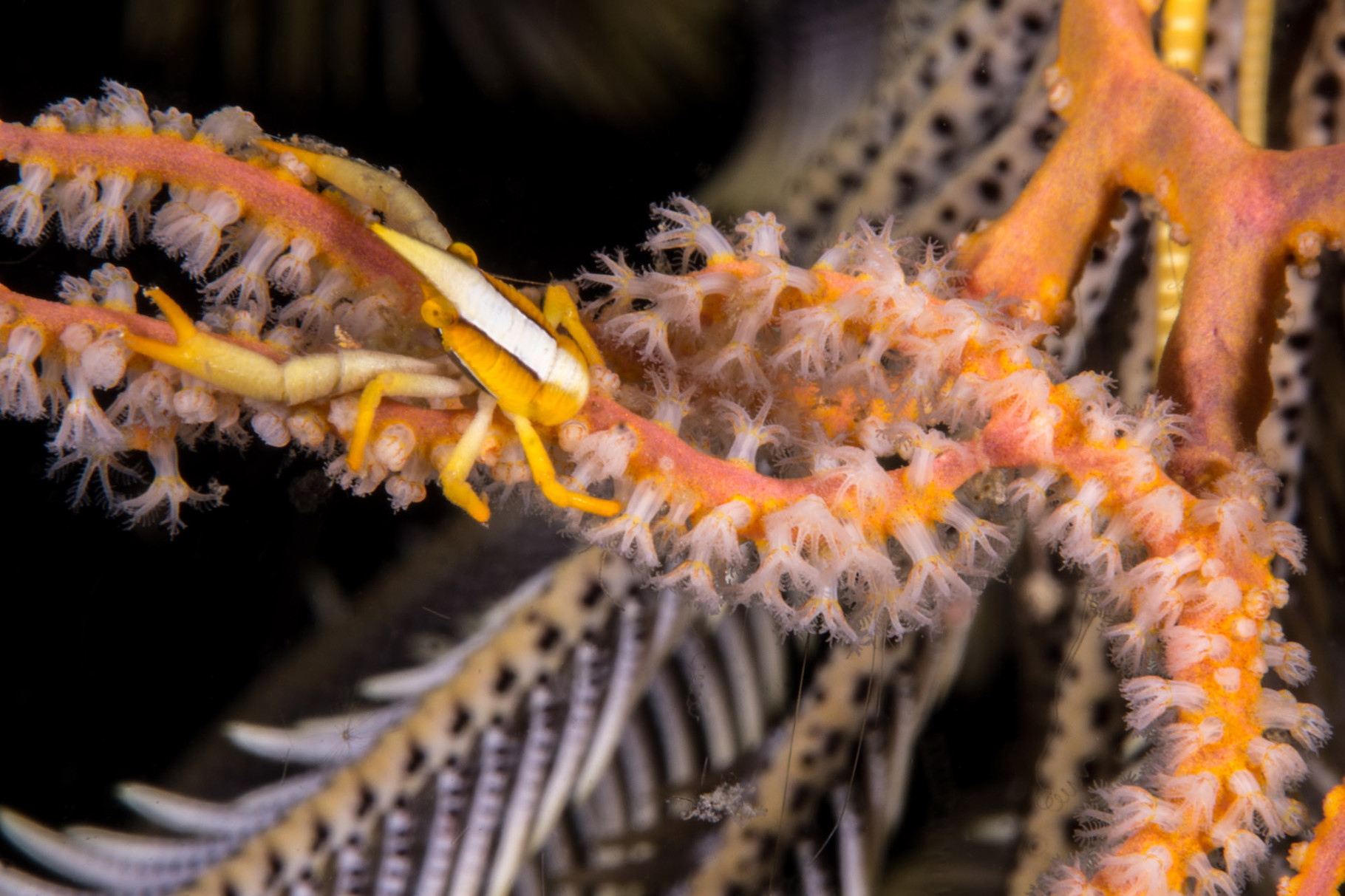 Feather star crab