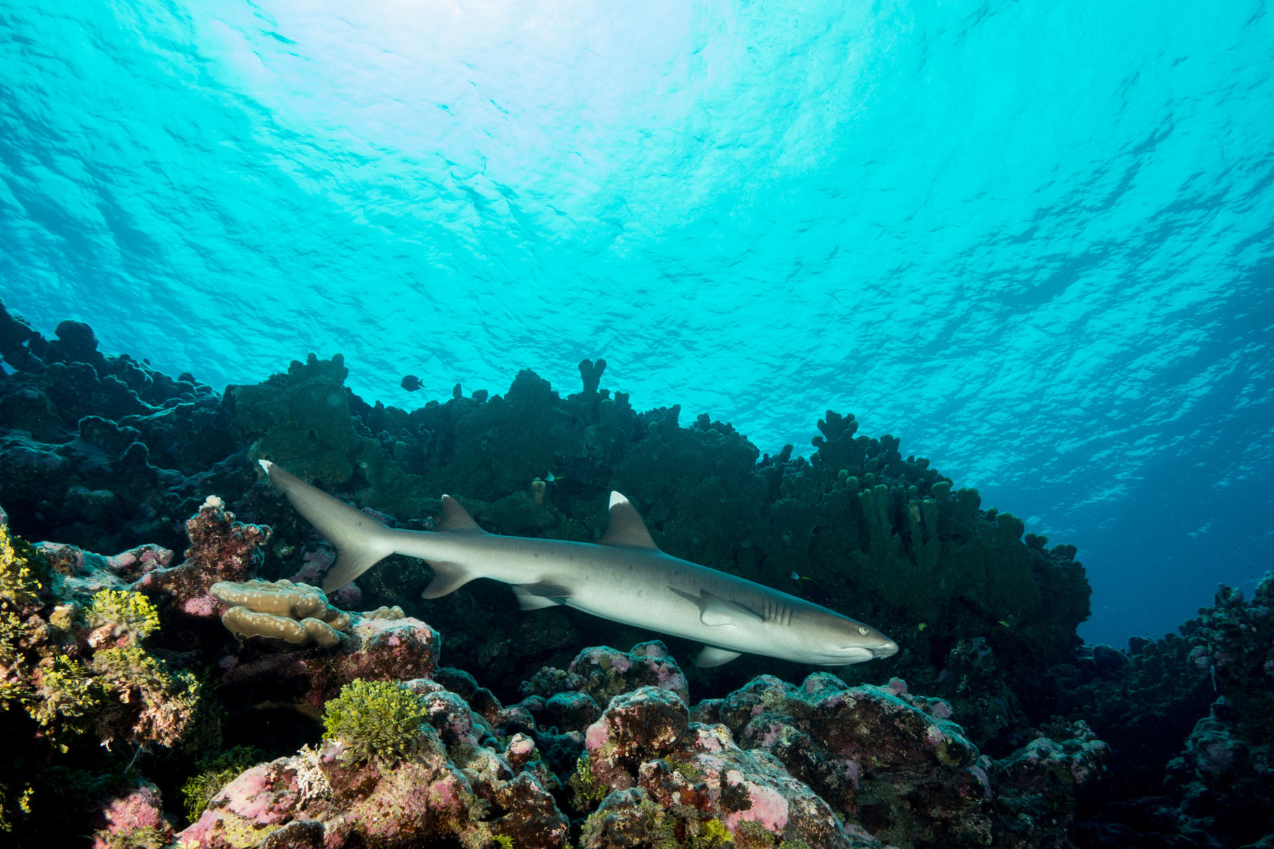 Whitetip reef shark, Maupiti