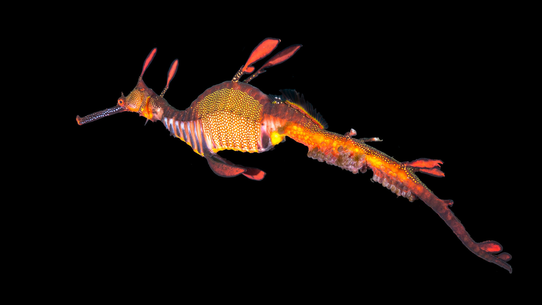 Male Weedy Sea Dragon carrying eggs (background erased with Photoshop)