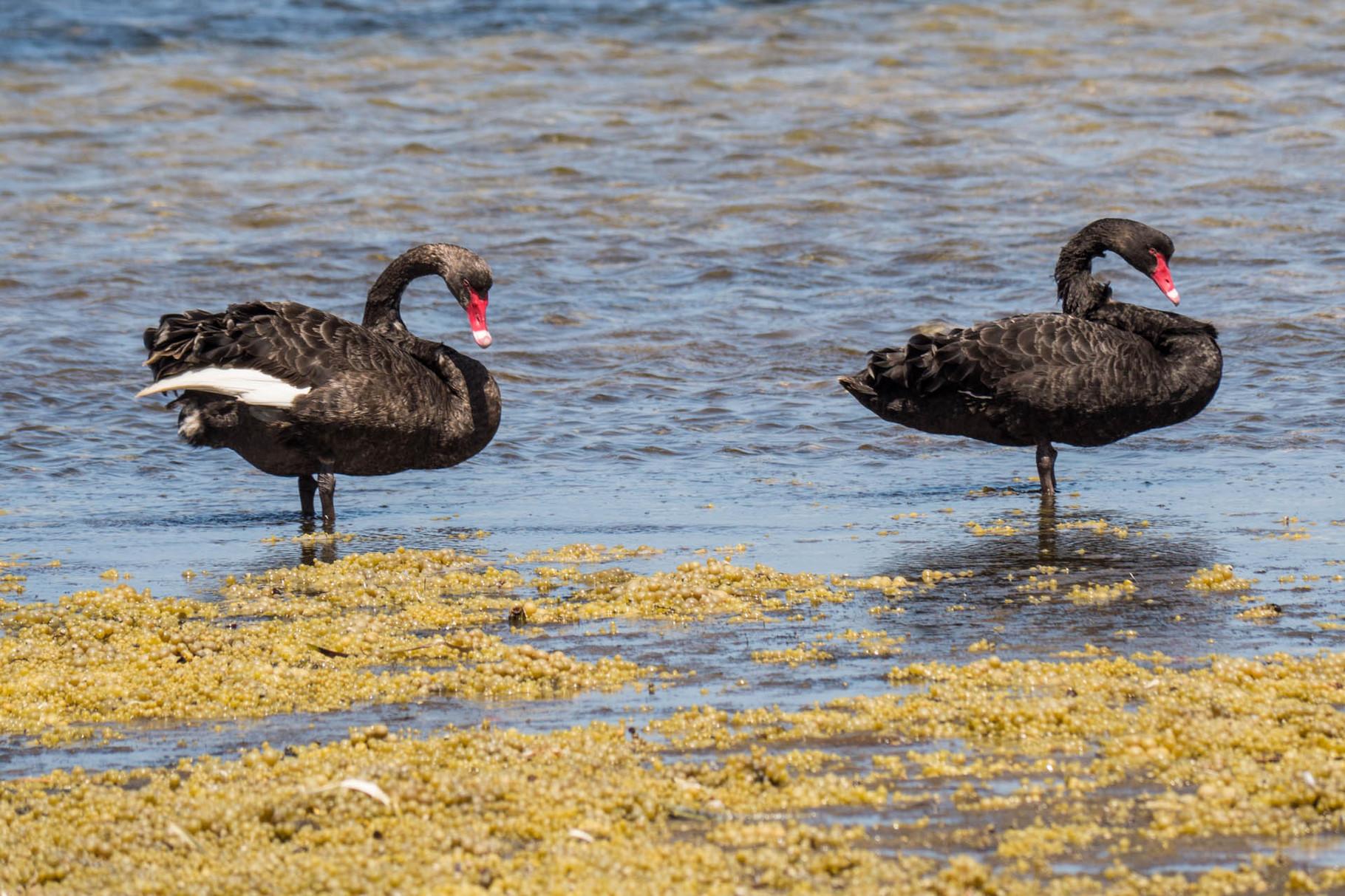 Black Swans, American River, Kangaroo Island [Australia, 2014]