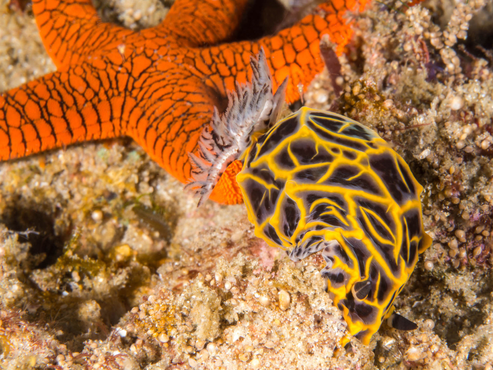 Sea star and nudibranch