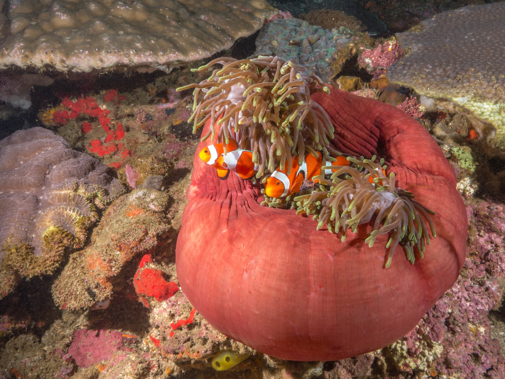 Anemone with False clown anemonefish