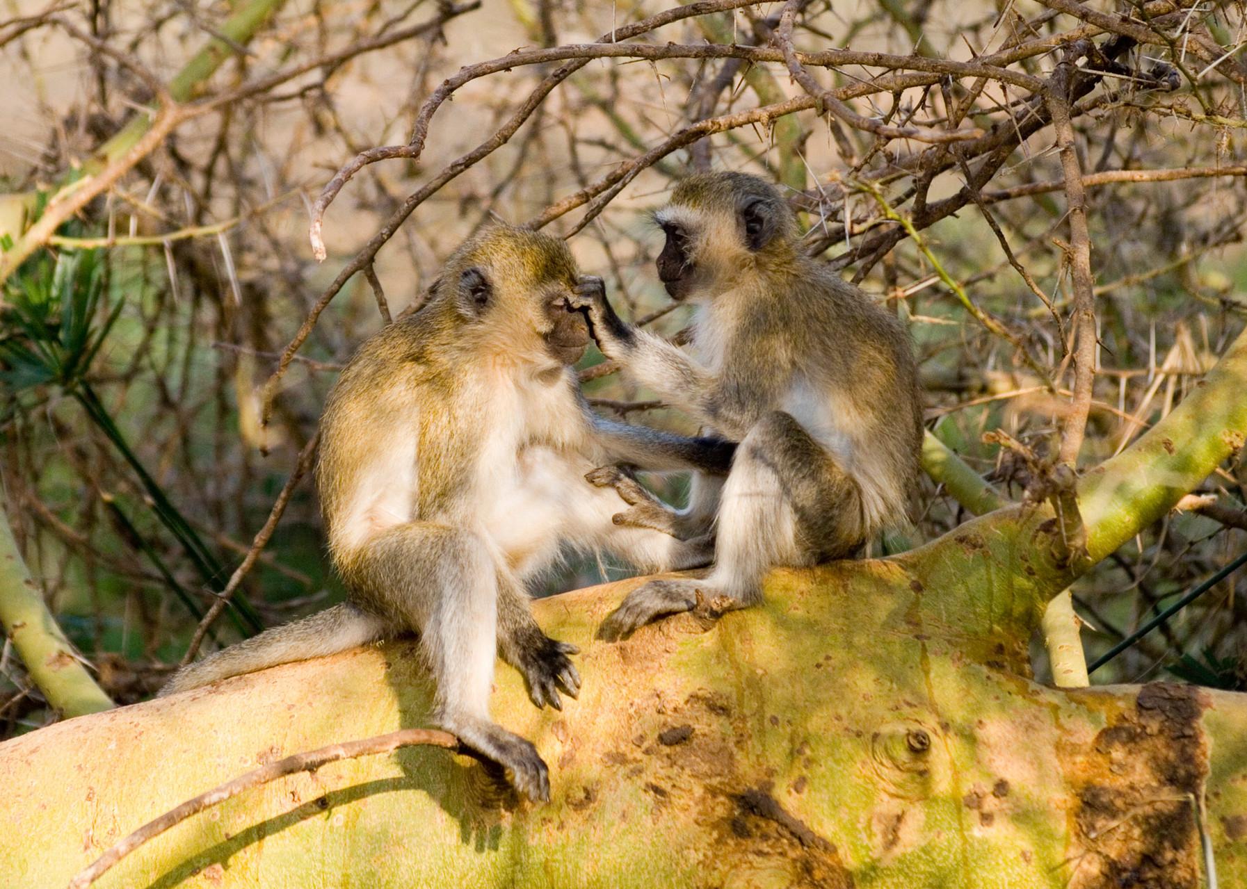Velvet monkeys