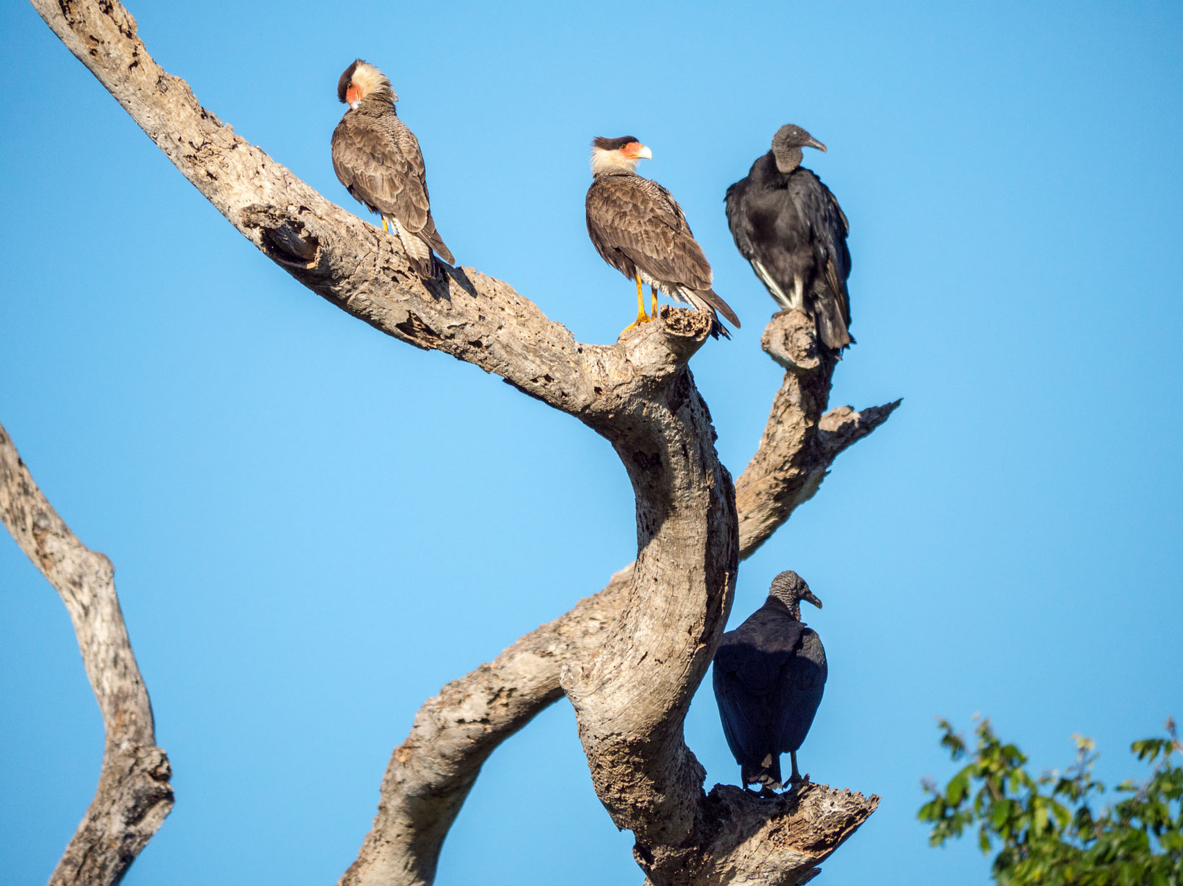 Southern Crested Caracaras and Black Vultures