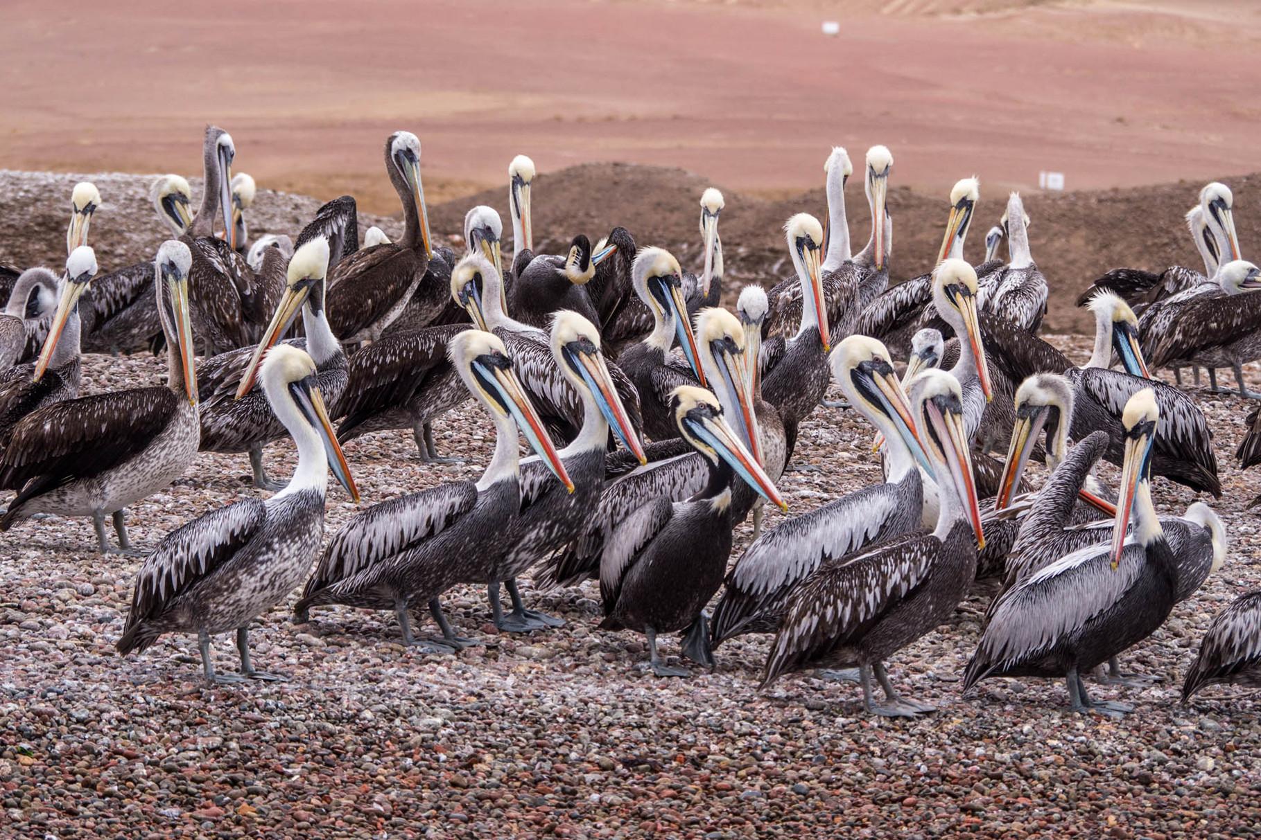 "Pelicans at Paracas / Ballesta Island (""Poor-man-Galapagos"") [Peru, 2014]"