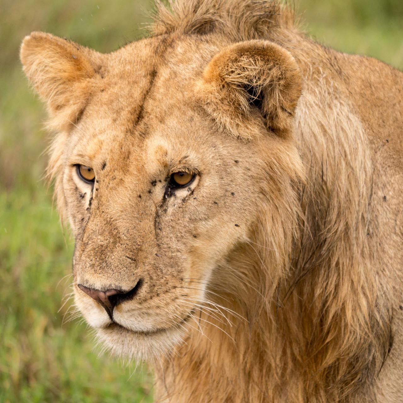 Lion [Serengeti, Tanzania, 2015]