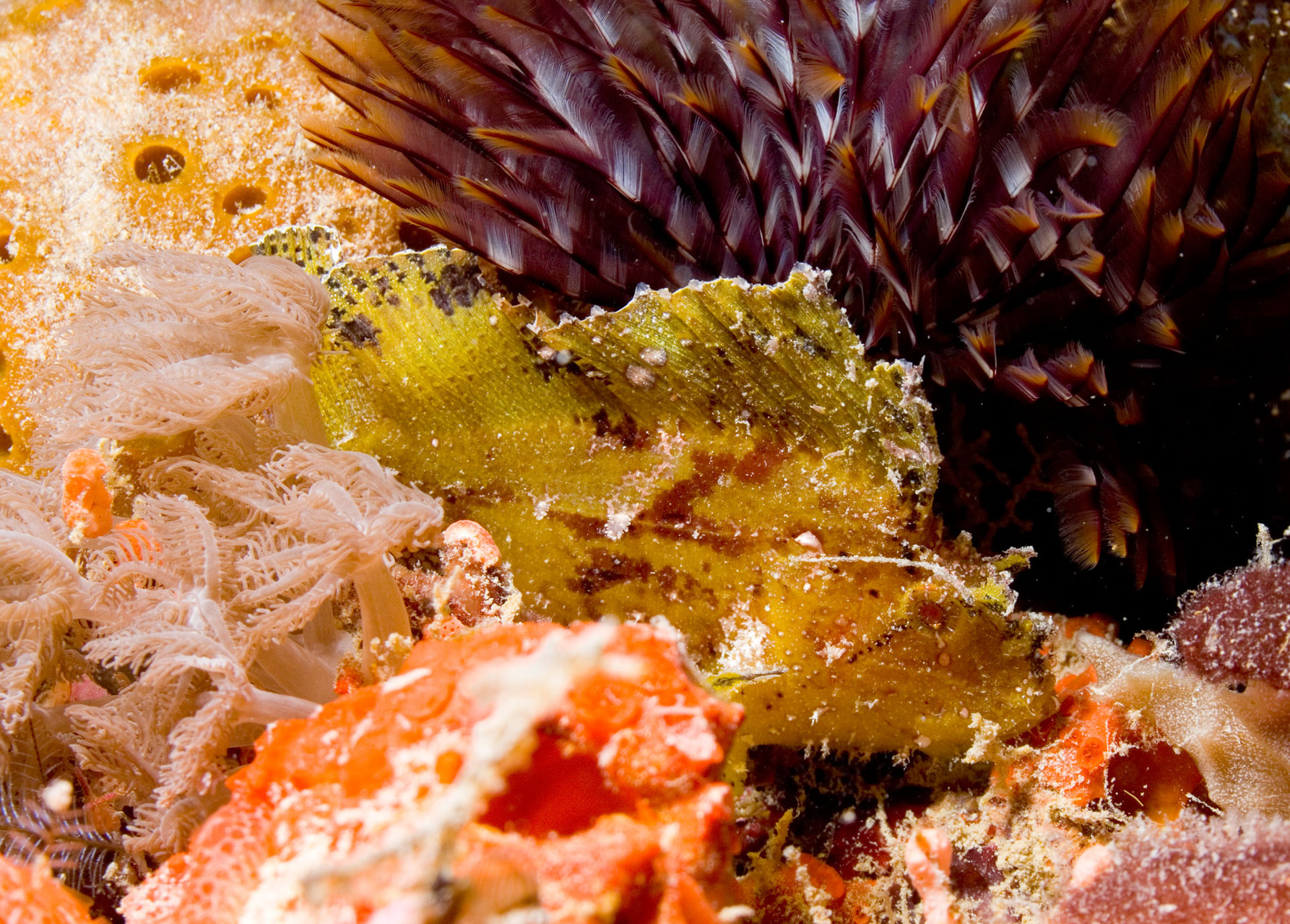 Leaf scorpionfish or paperfish (Taenianotus triacanthus)